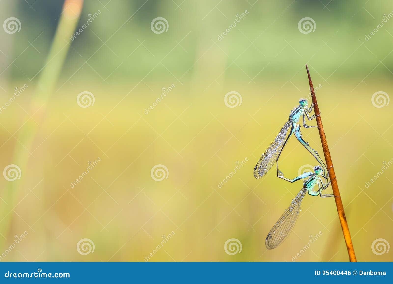 觚明显的蜻蜓