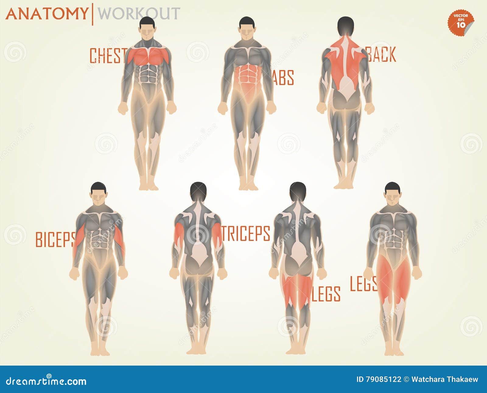 解剖学美好的设计解决的在健身房包括胸口