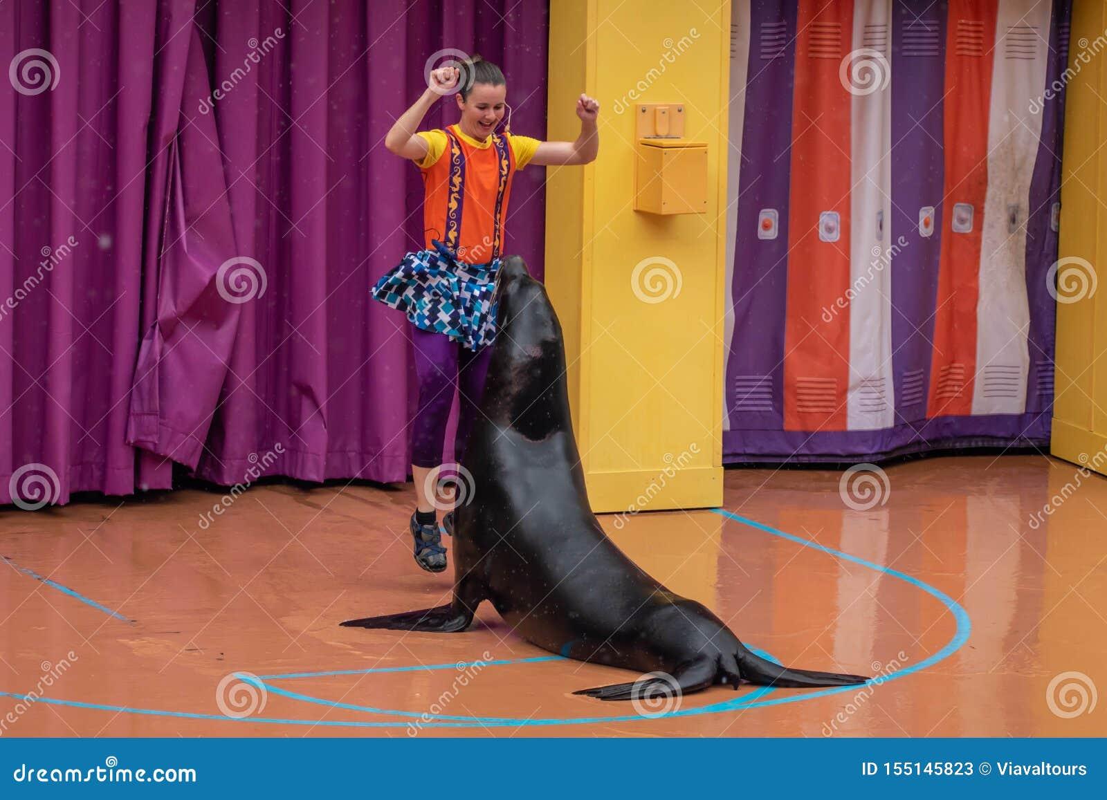 讨人喜欢的海狮使用与在海狮高展示的妇女教练在Seaworld 1