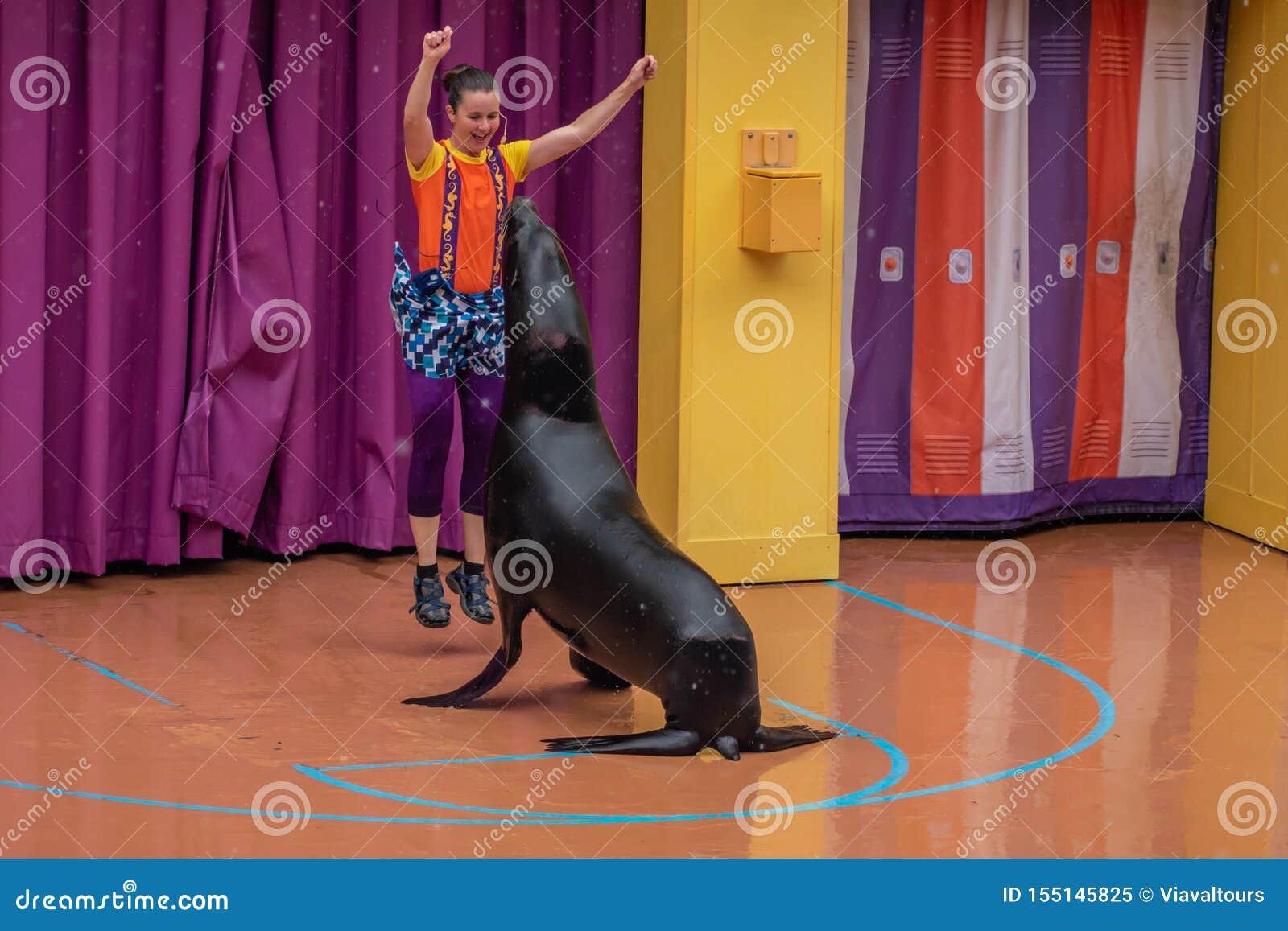 讨人喜欢的海狮使用与在海狮高展示的妇女教练在Seaworld 2