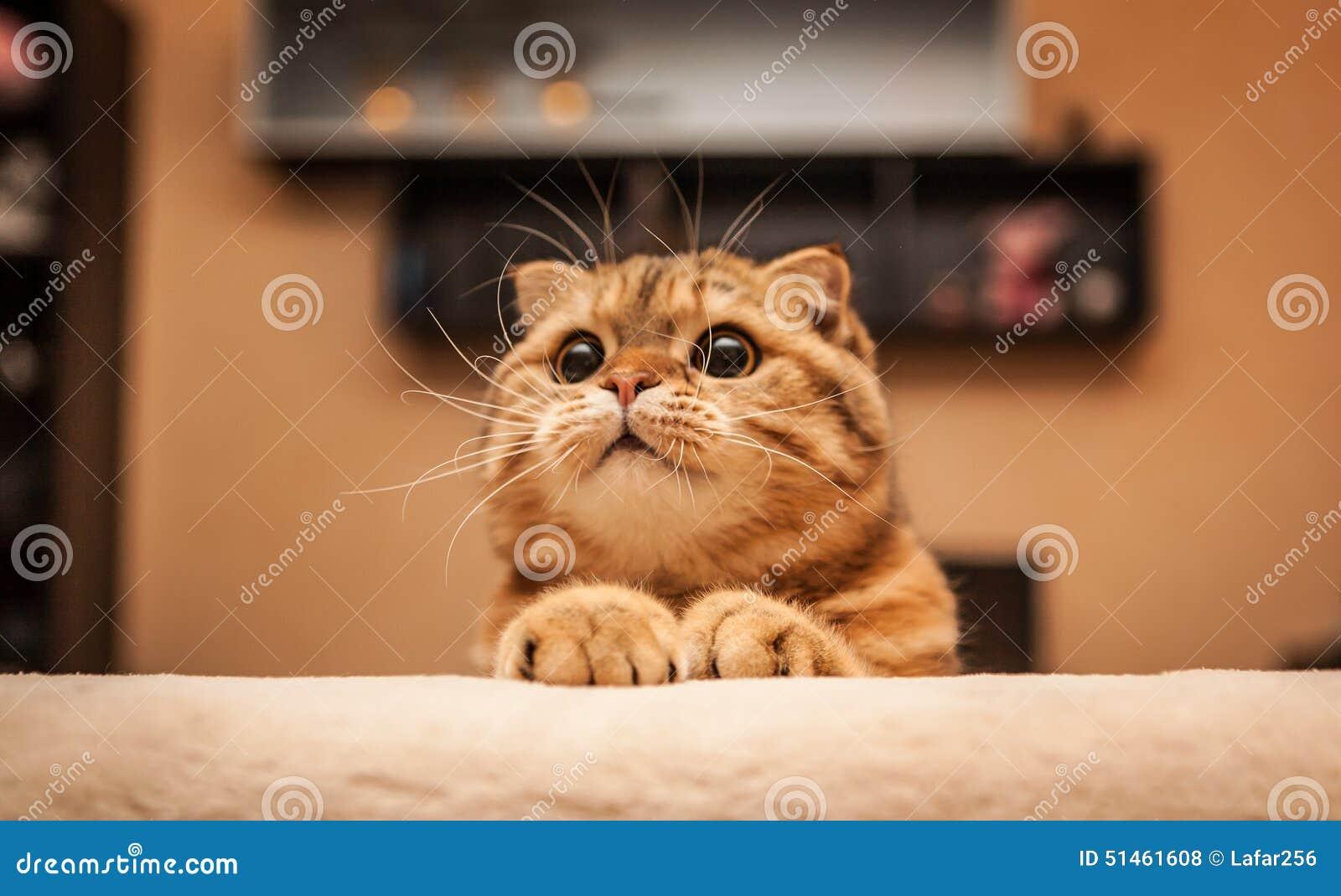 讨人喜欢的苏格兰人折叠猫