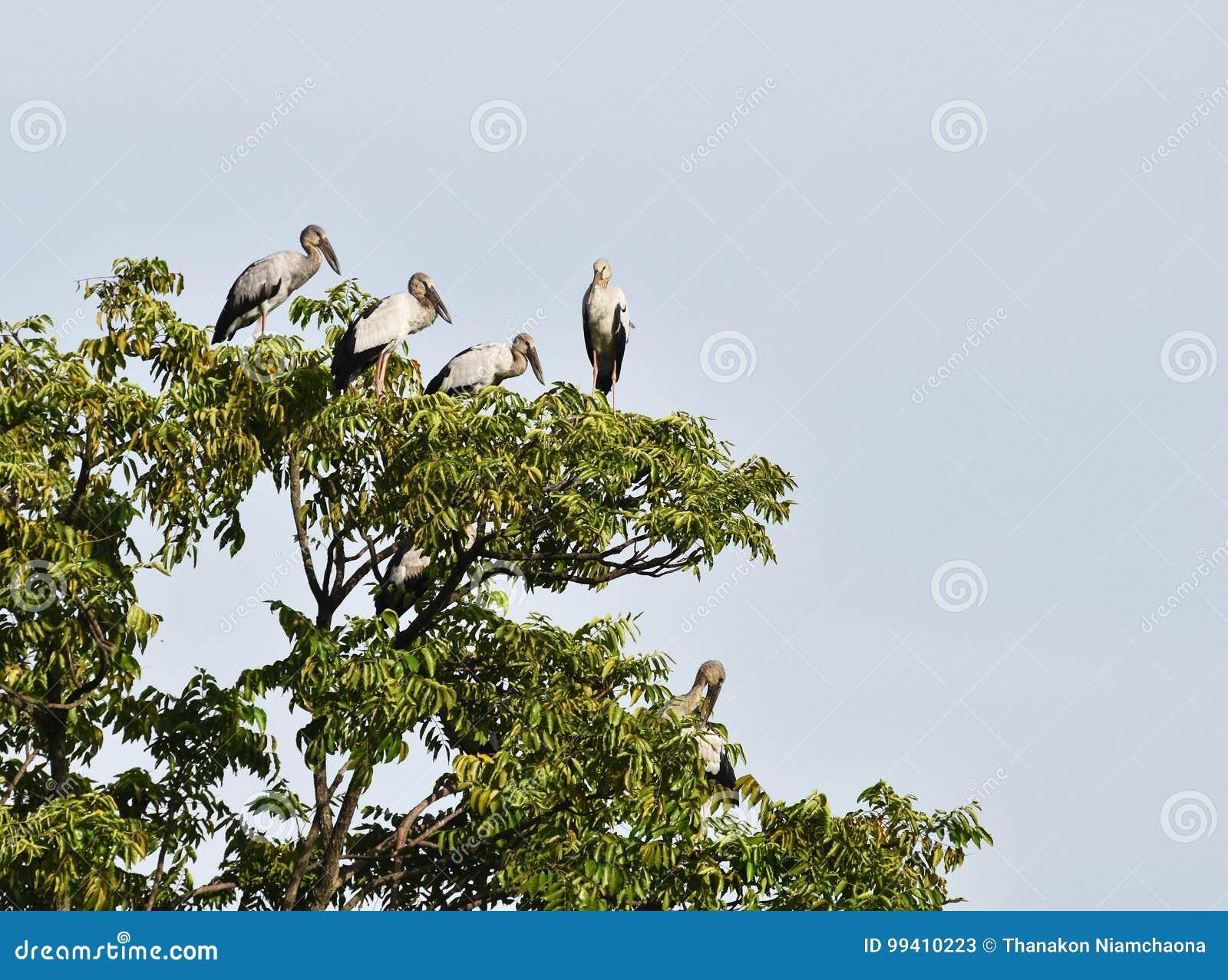 许多开放发单了鹳鸟在树顶部在蓝天下