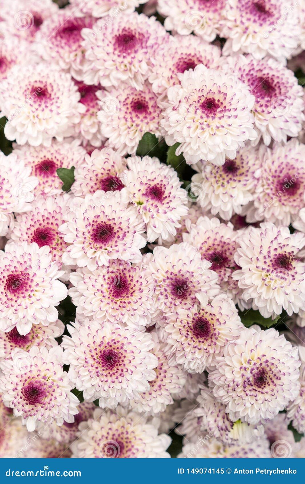 ?? 许多桃红色菊花 小桃红色花 桃红色菊花背景 r