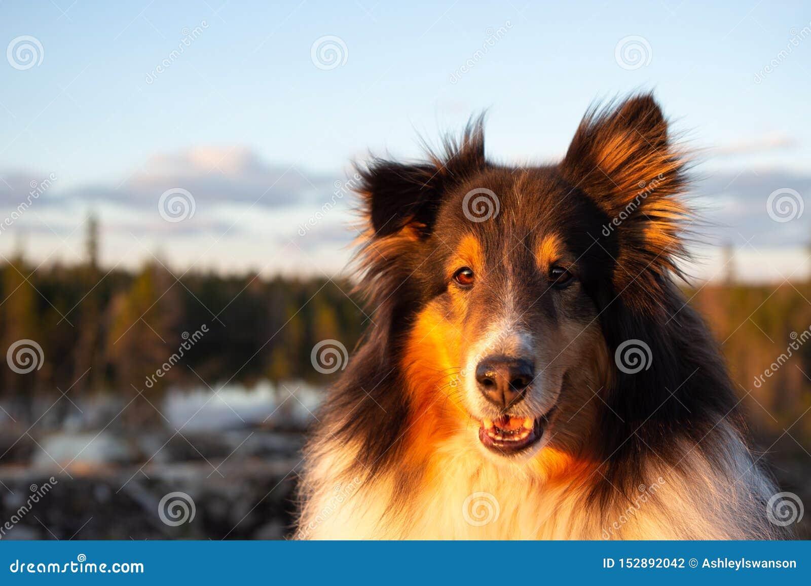 设德蓝群岛牧羊犬在日落的夏天