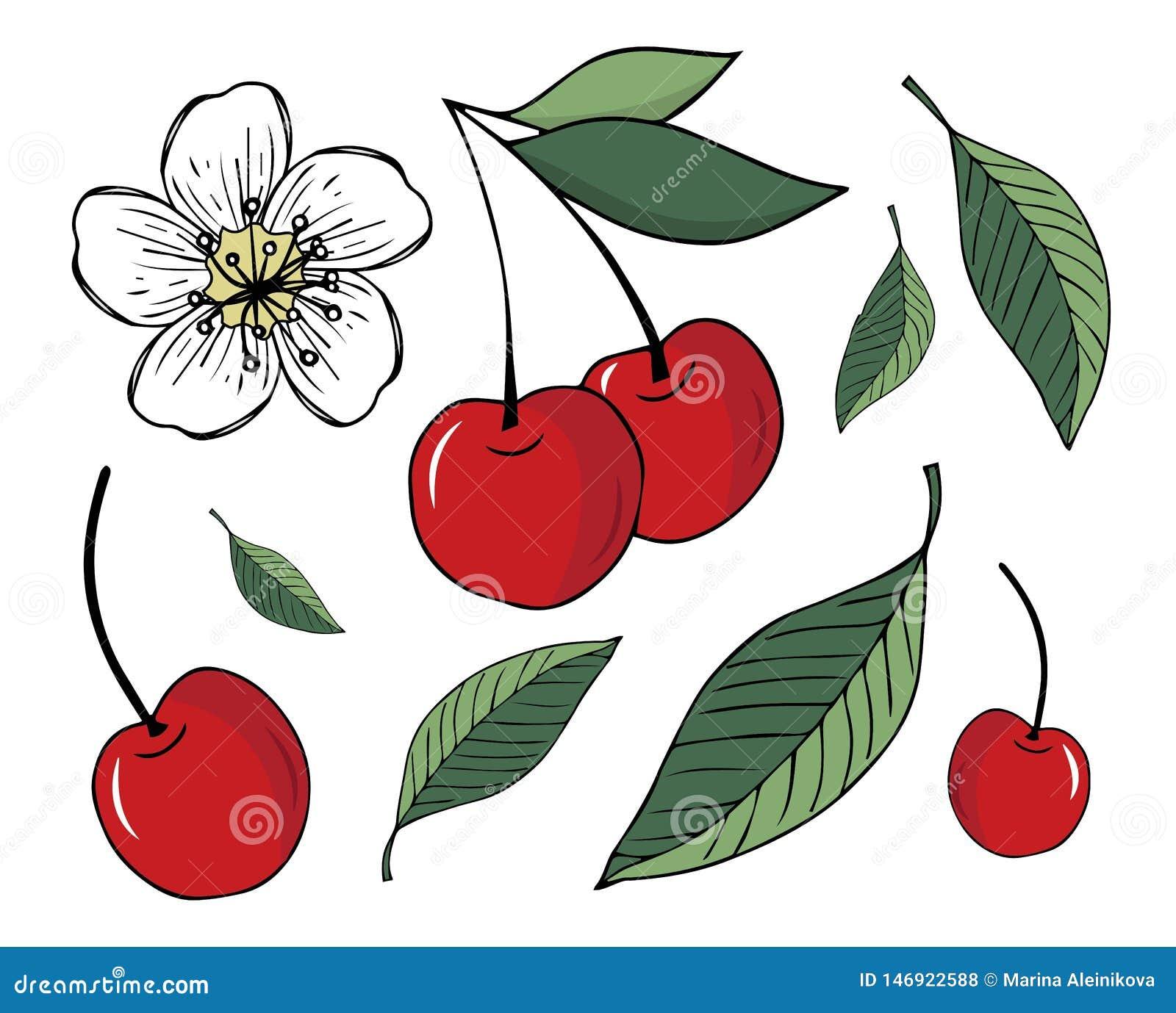 设置樱桃和叶子的例证,隔绝在白色背景