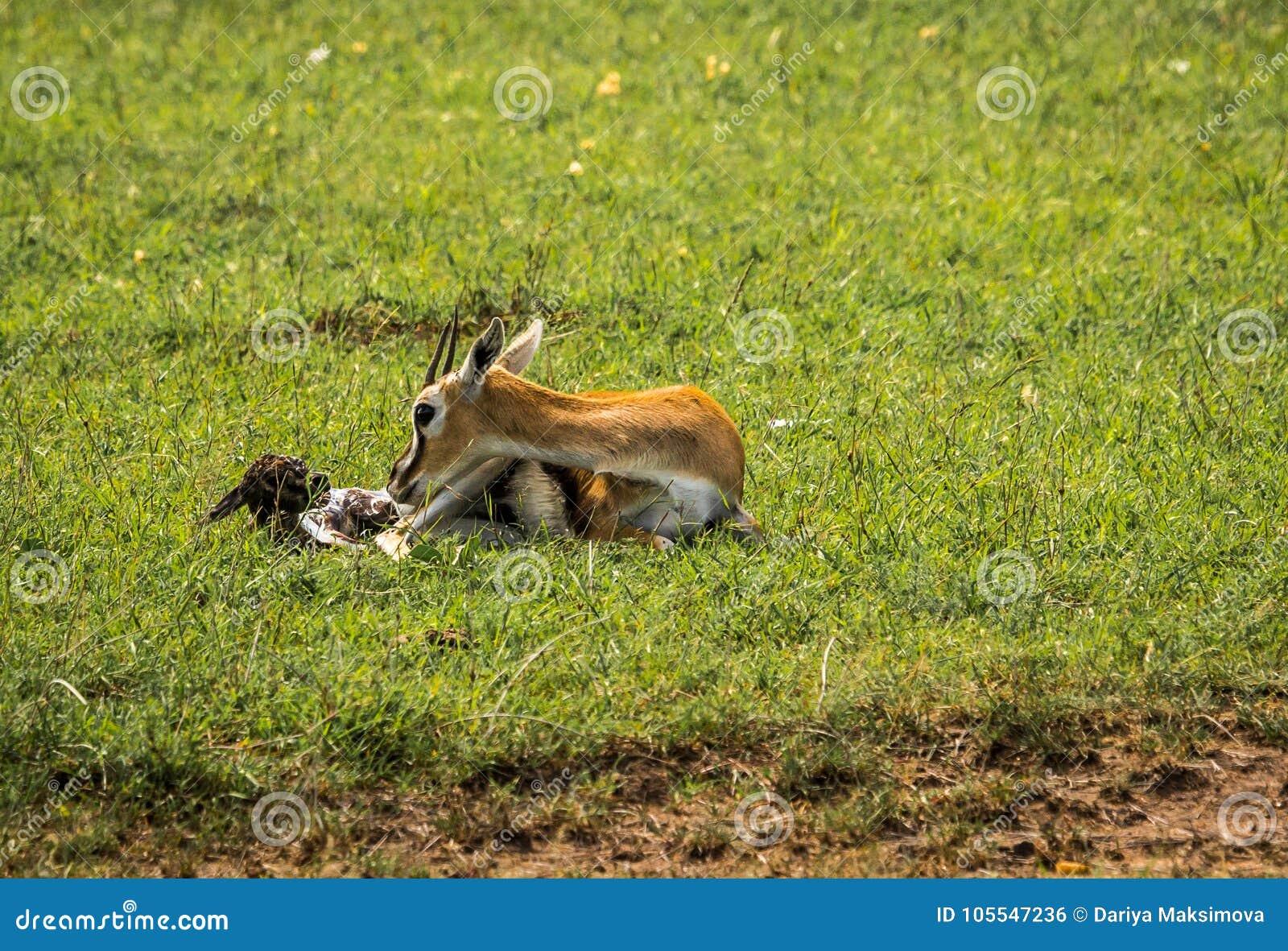 诞生的汤普森羚羊马塞语的Mra,肯尼亚婴孩