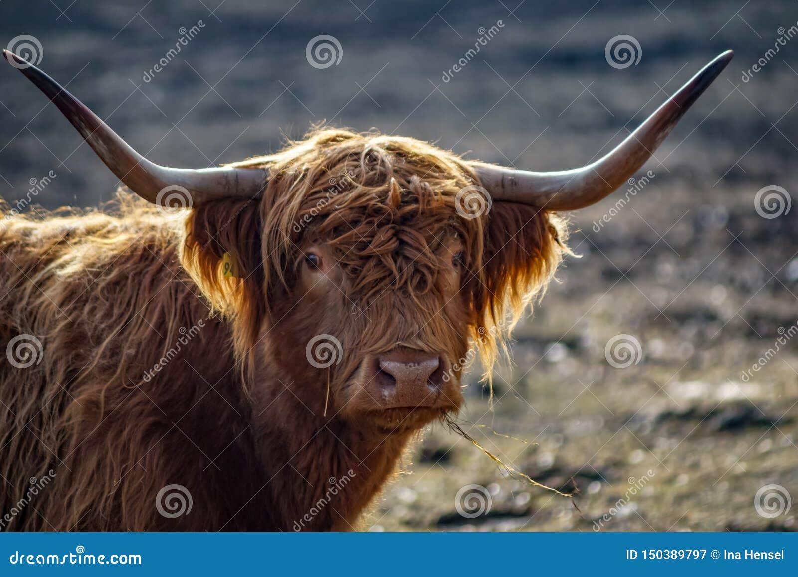 详细的画象苏格兰高地牛