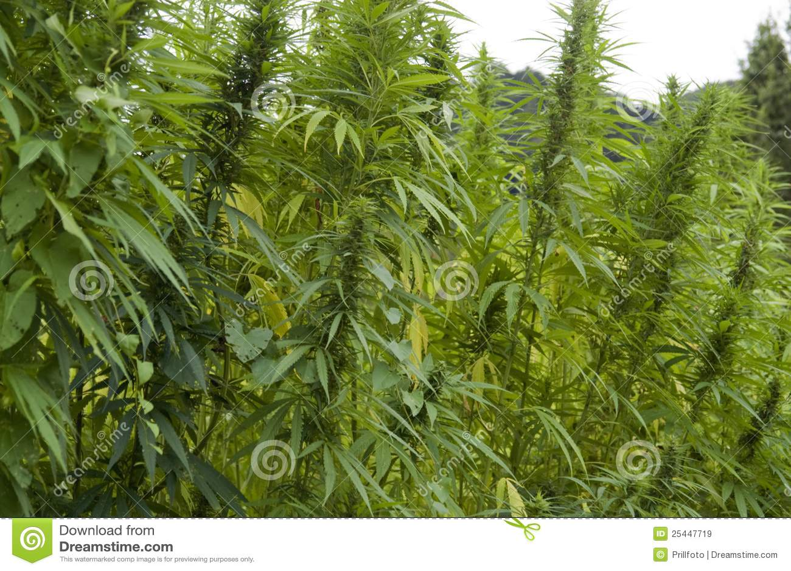 详细资料域大麻