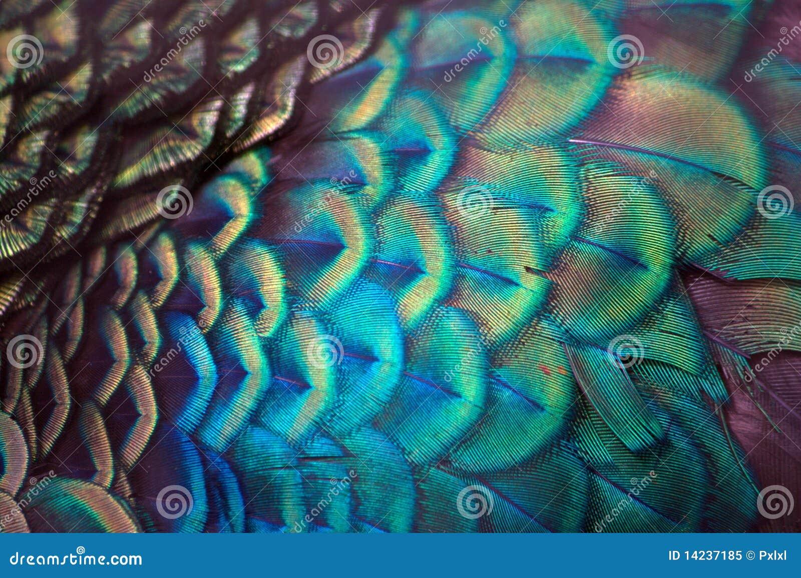 详细资料用羽毛装饰孔雀