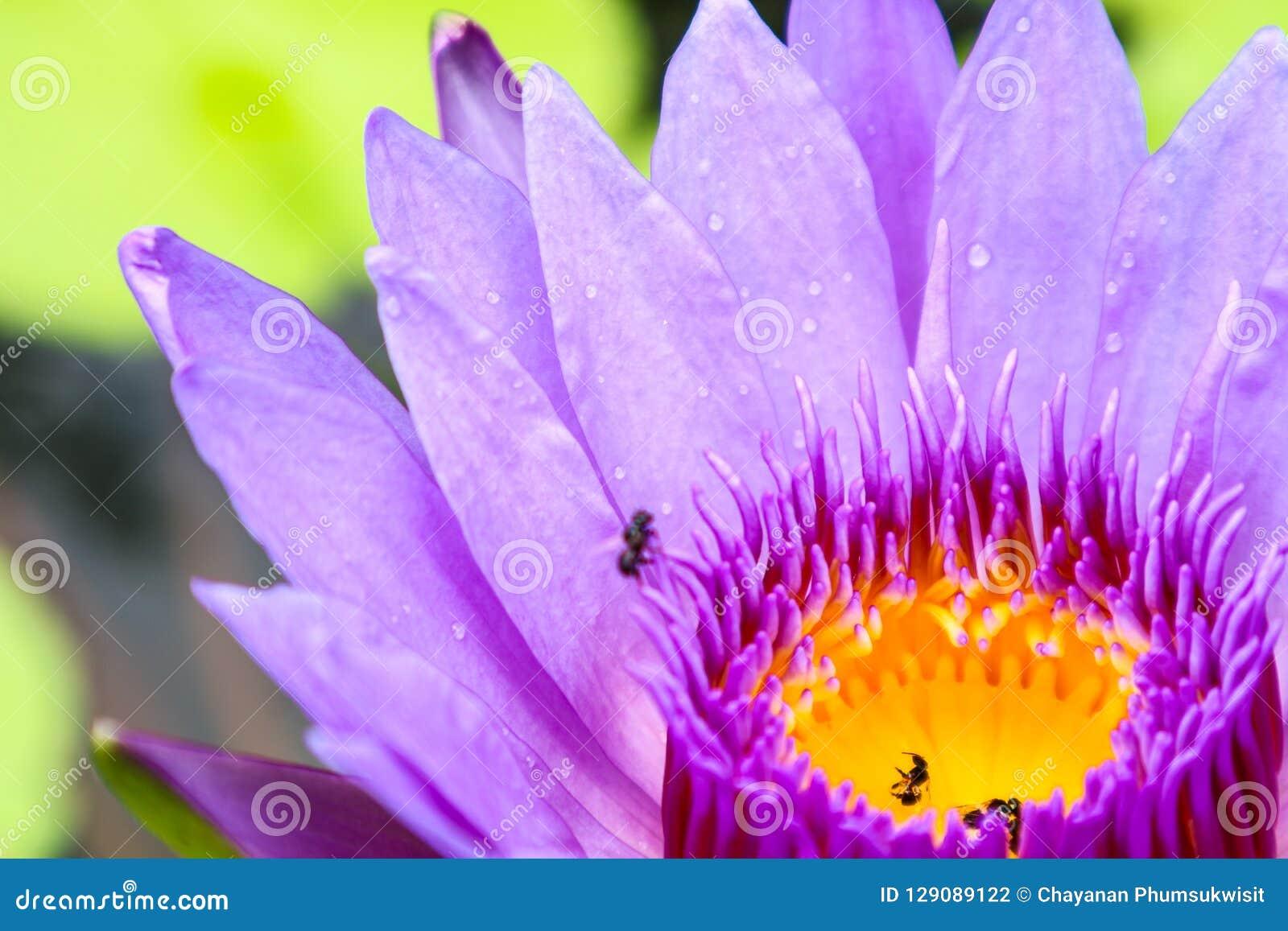 诱使昆虫的莲花开花和水下来对莲花
