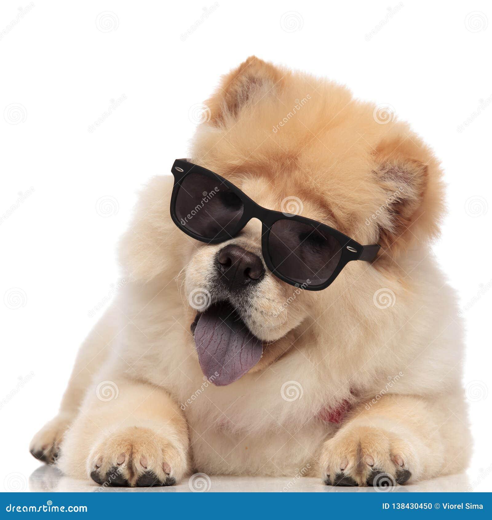 说谎与蓝舌头的可爱的中国咸菜佩带的sunglasse被暴露