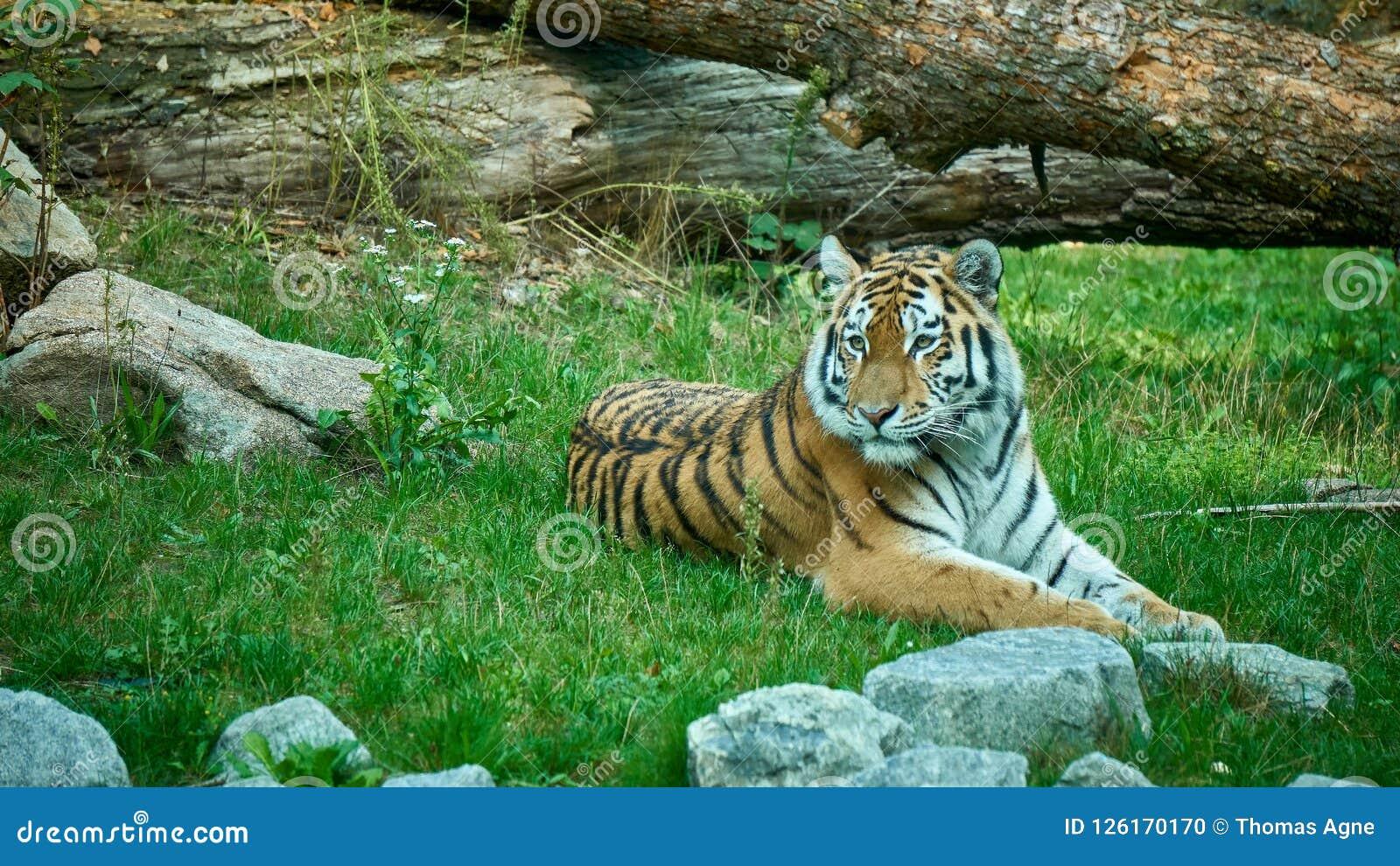 说谎在地面上的老虎