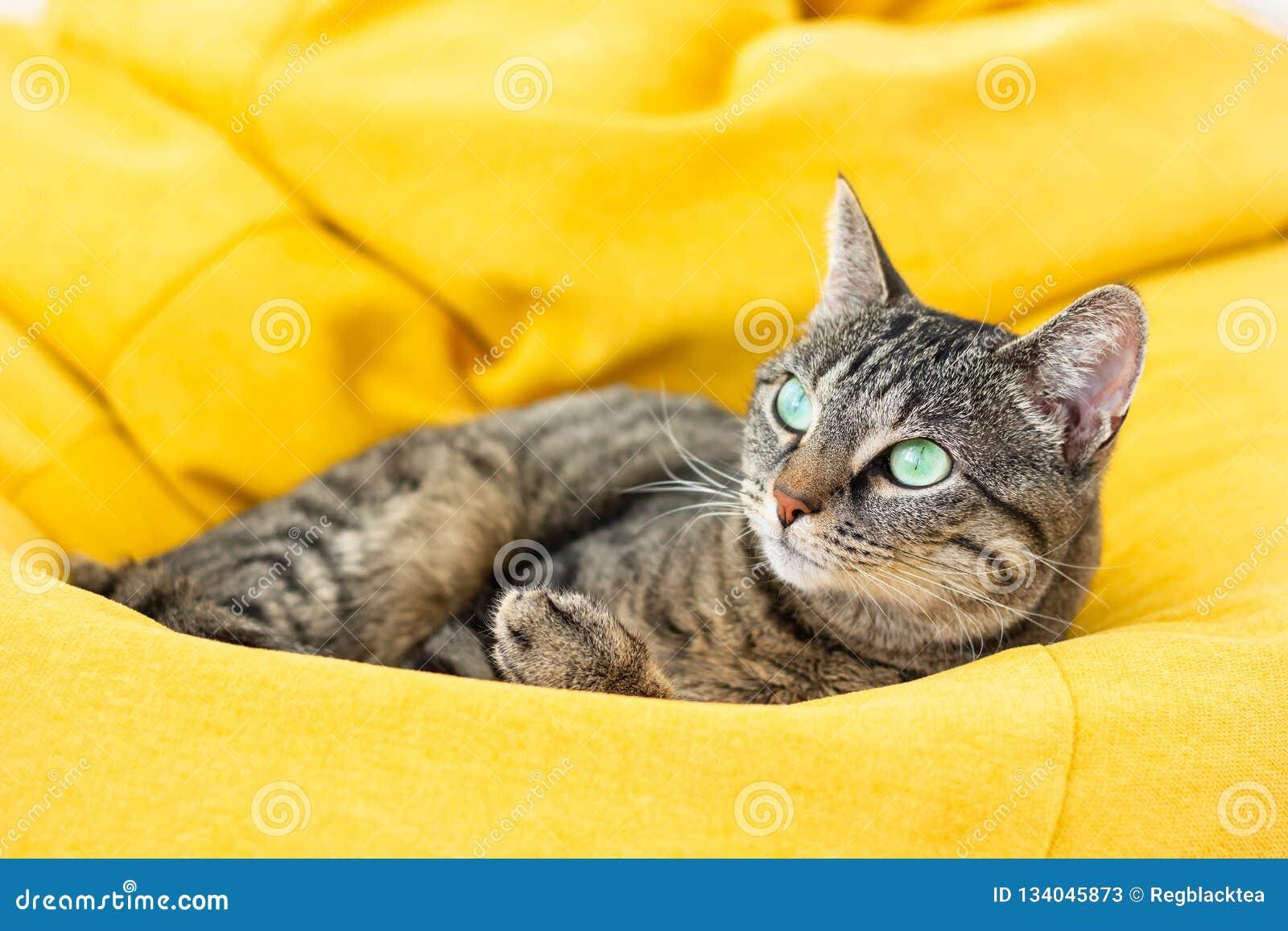 说谎在明亮的黄豆袋子的逗人喜爱的山猫