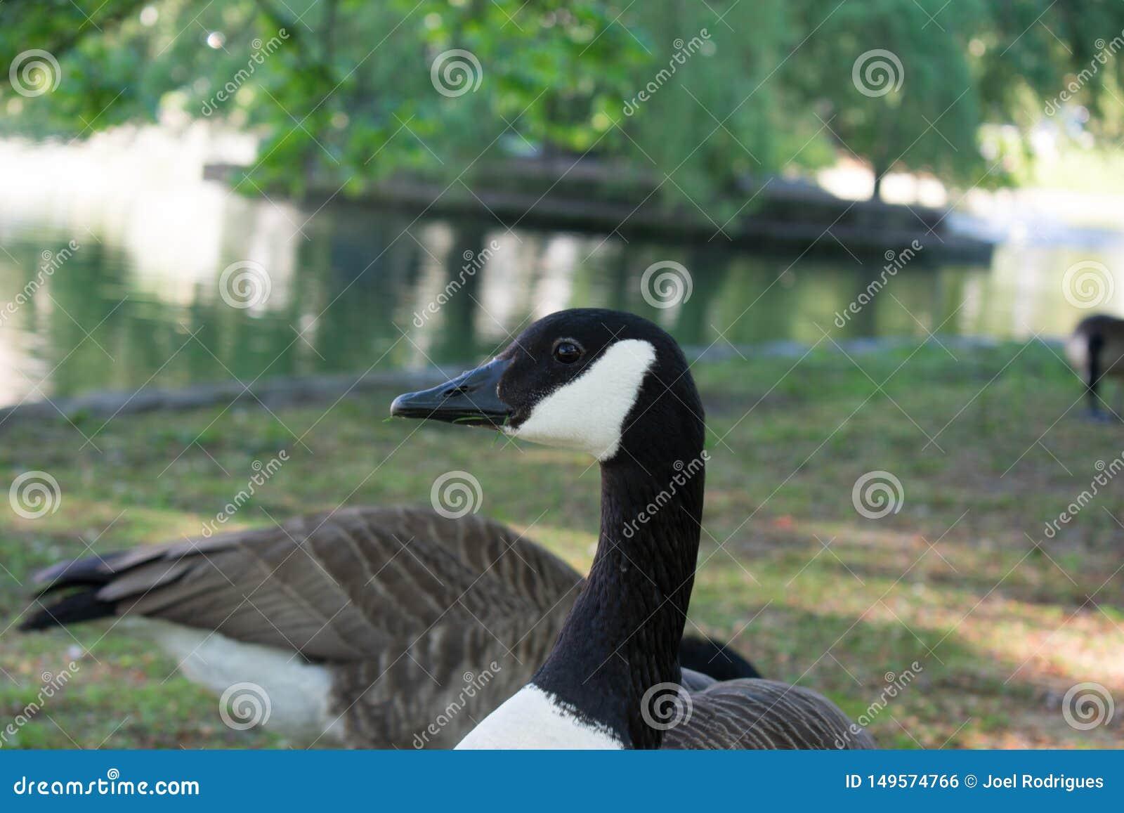 调查照相机的加拿大鹅在公园湖旁边