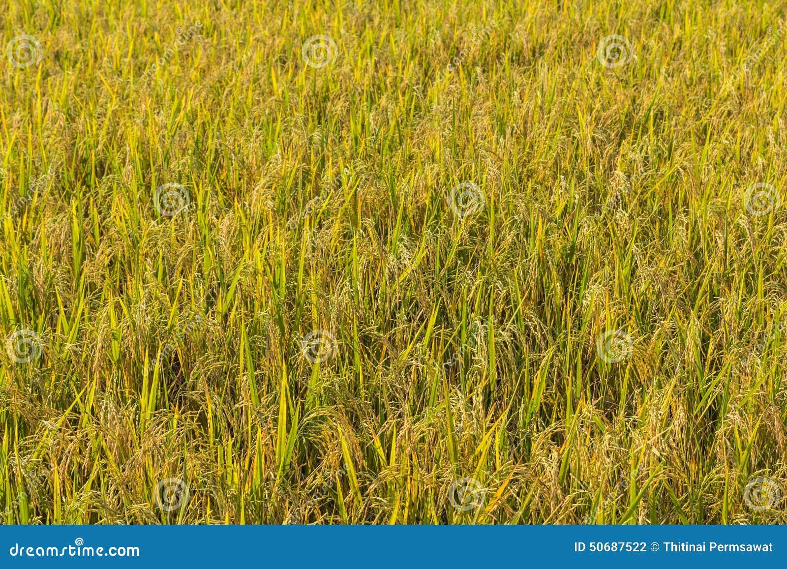Download 调遣米 库存照片. 图片 包括有 照亮, 食物, 自治权, 庄稼, 乡下, 成熟, 外面, 叶子, 自然 - 50687522