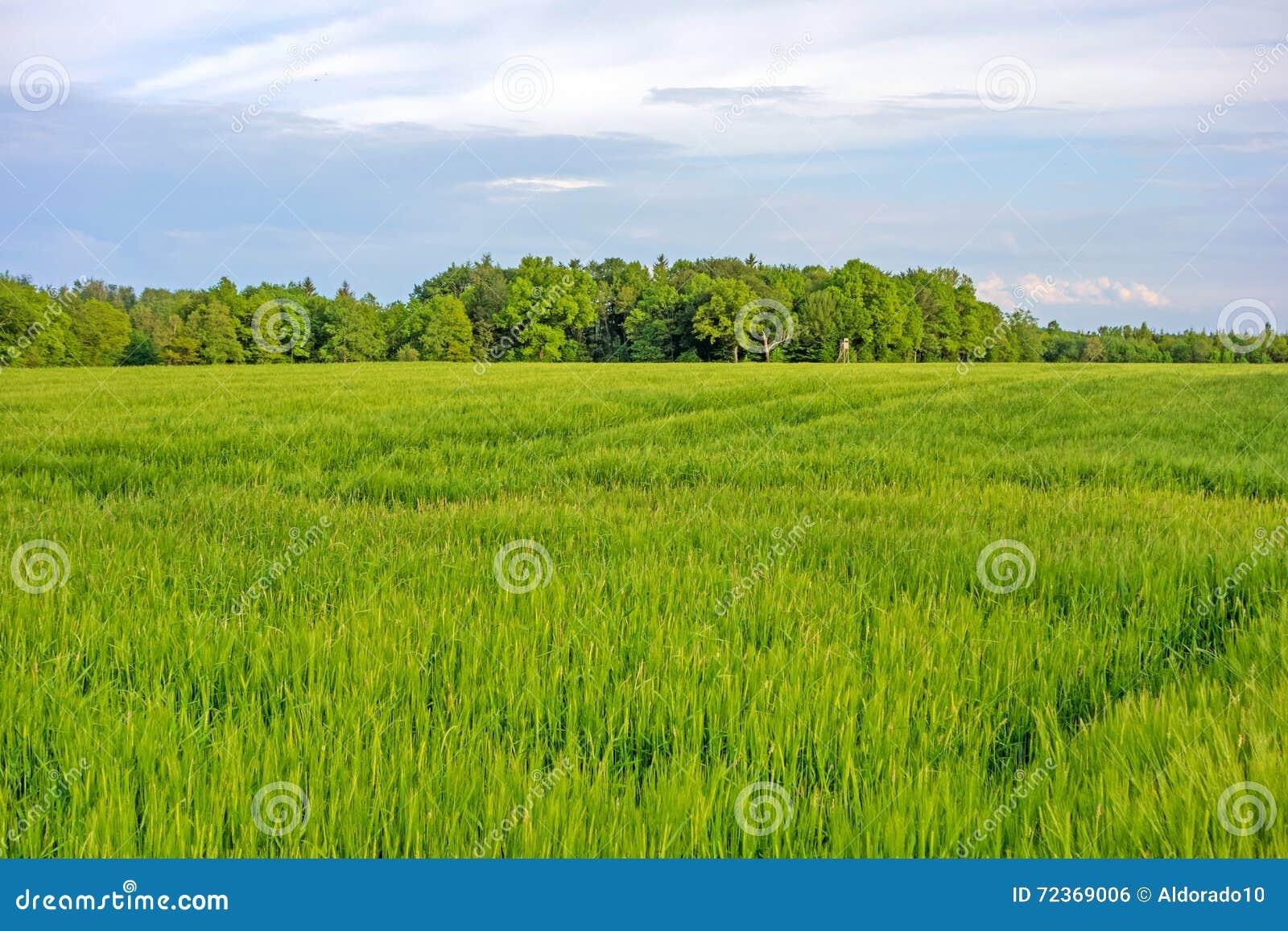 调遣绿色麦子