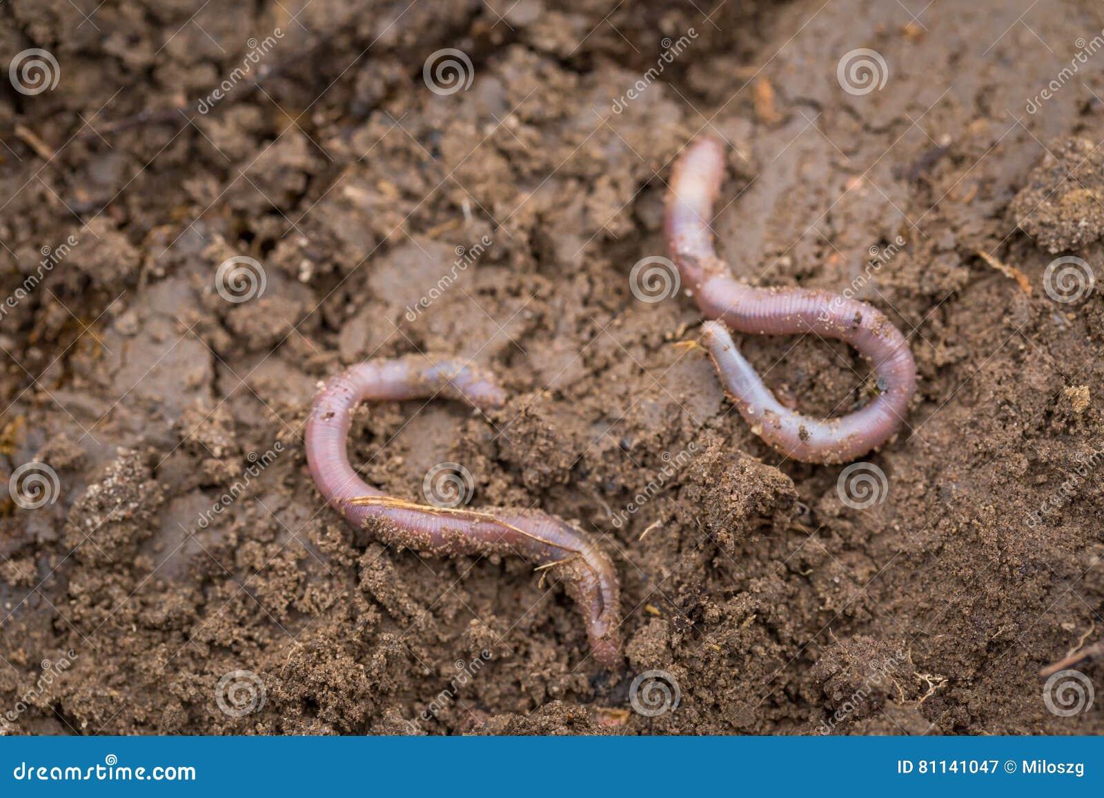 说谎在土壤的蚯蚓