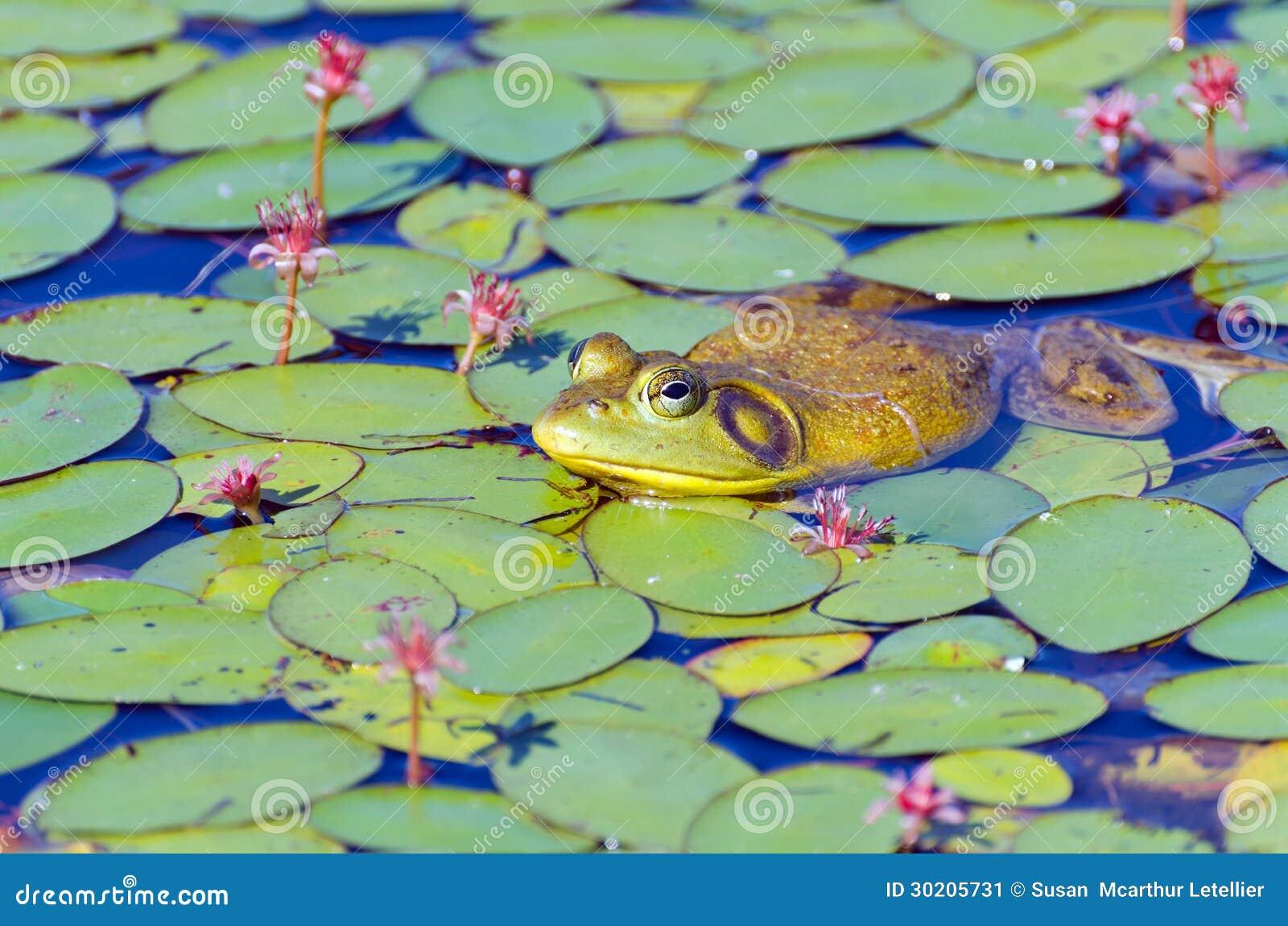 牛蛙特写镜头在睡莲叶的