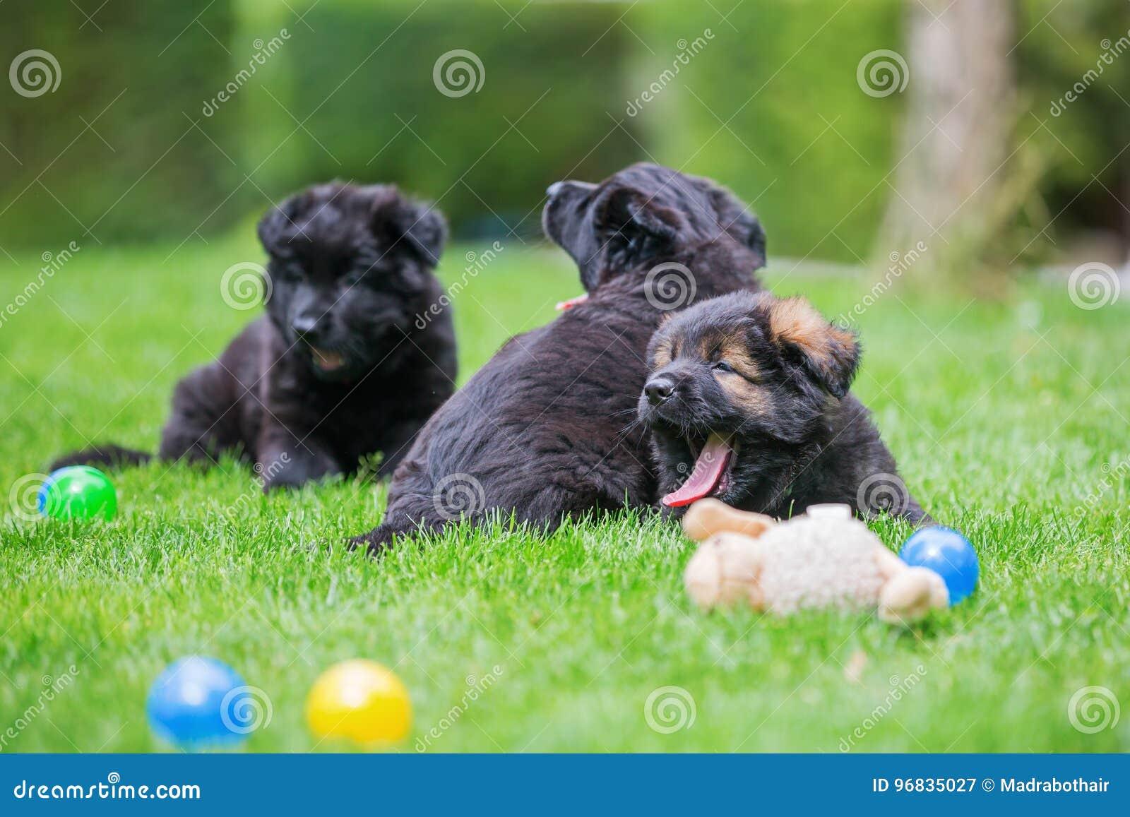 说谎在草坪的三只老德国牧羊犬小狗