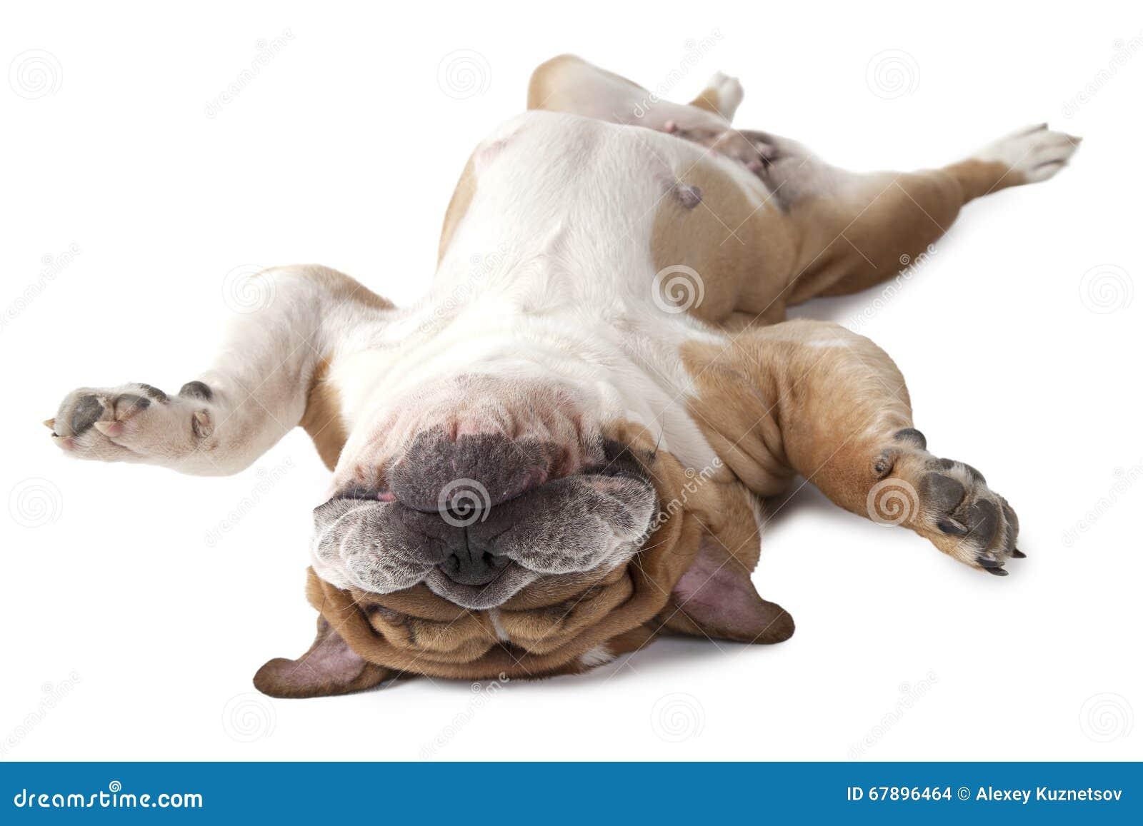 说谎在他的英国牛头犬隔绝在白色