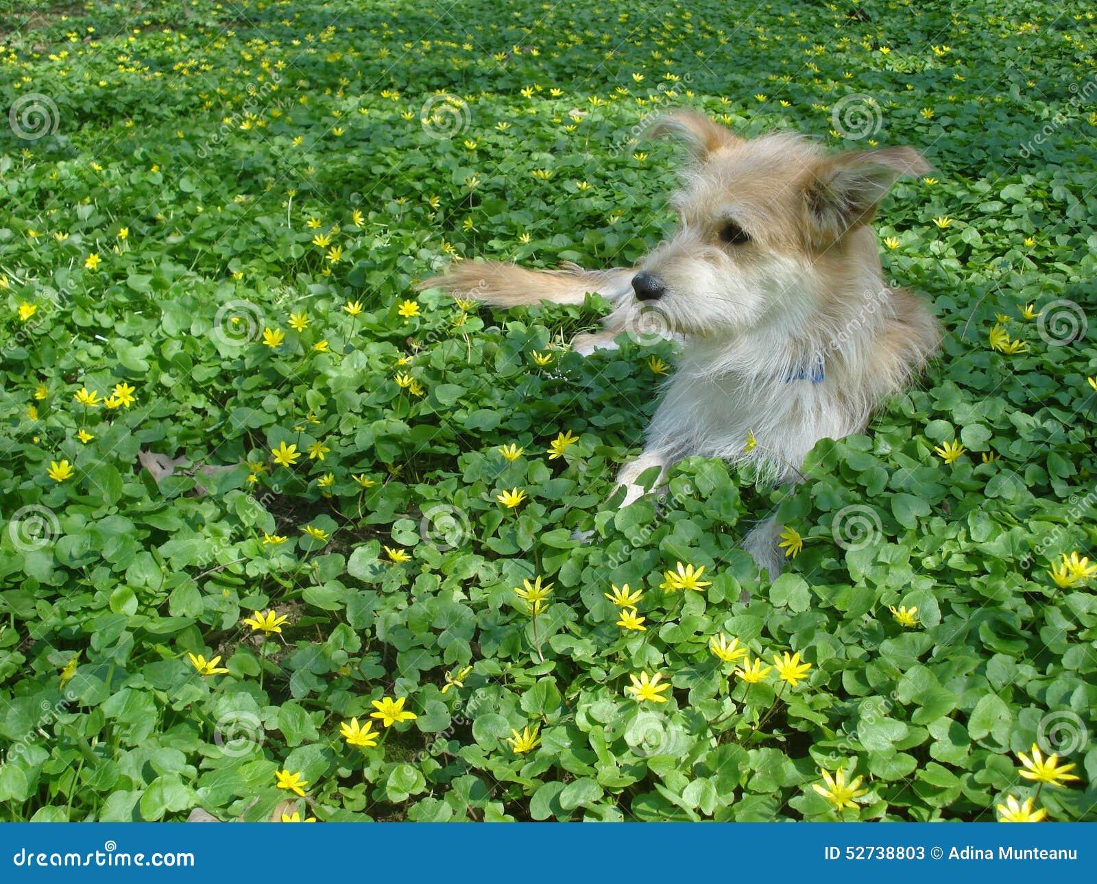 幼黄_说谎在草甸的幼小米黄狗,在一点白屈菜中在春天开花.