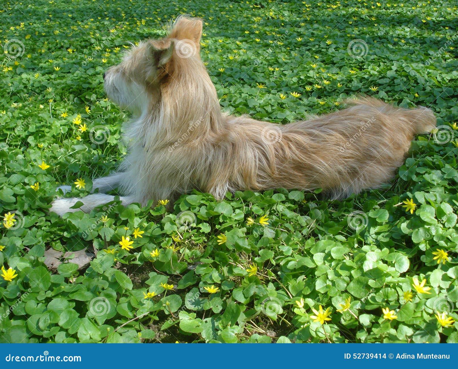 幼黄_说谎在黄色野花中的幼小米黄狗