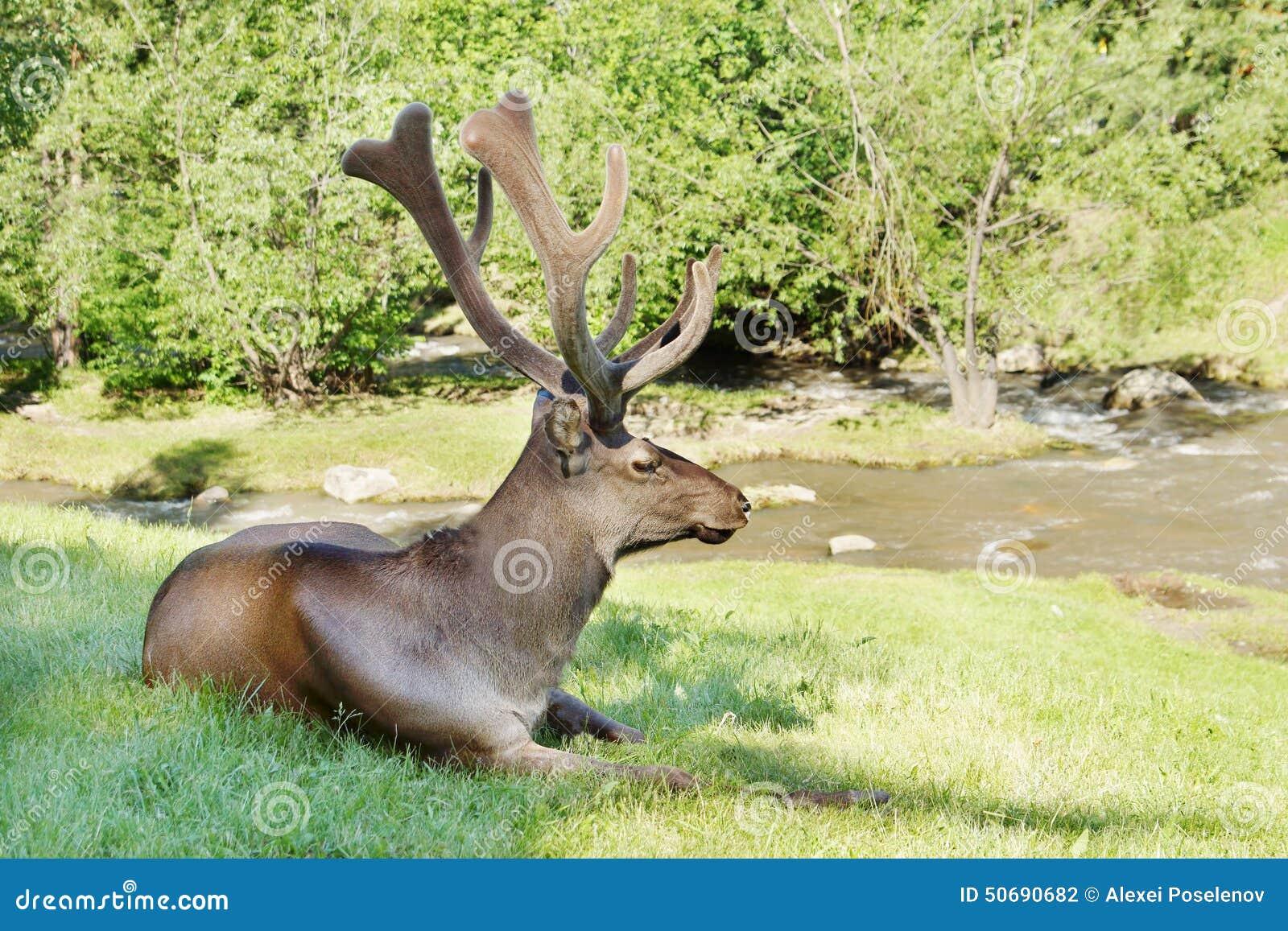 Download 说谎在绿草的野生鹿在小河附近 库存照片. 图片 包括有 在附近, 的treadled, 沼地, 本质, 西伯利亚 - 50690682