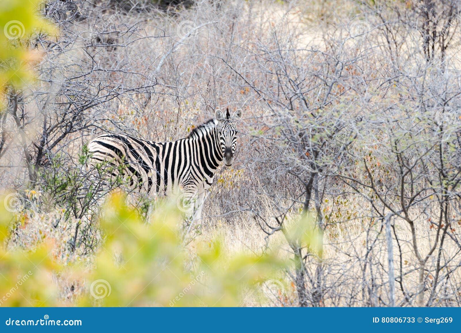 谨慎斑马掩藏入大草原并且调查照相机