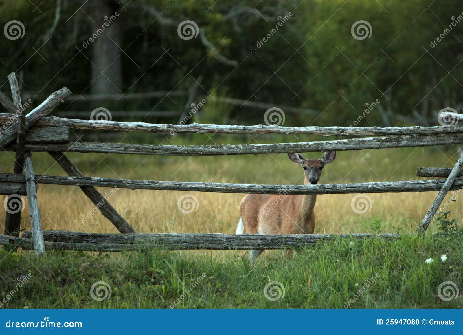谨慎白尾鹿