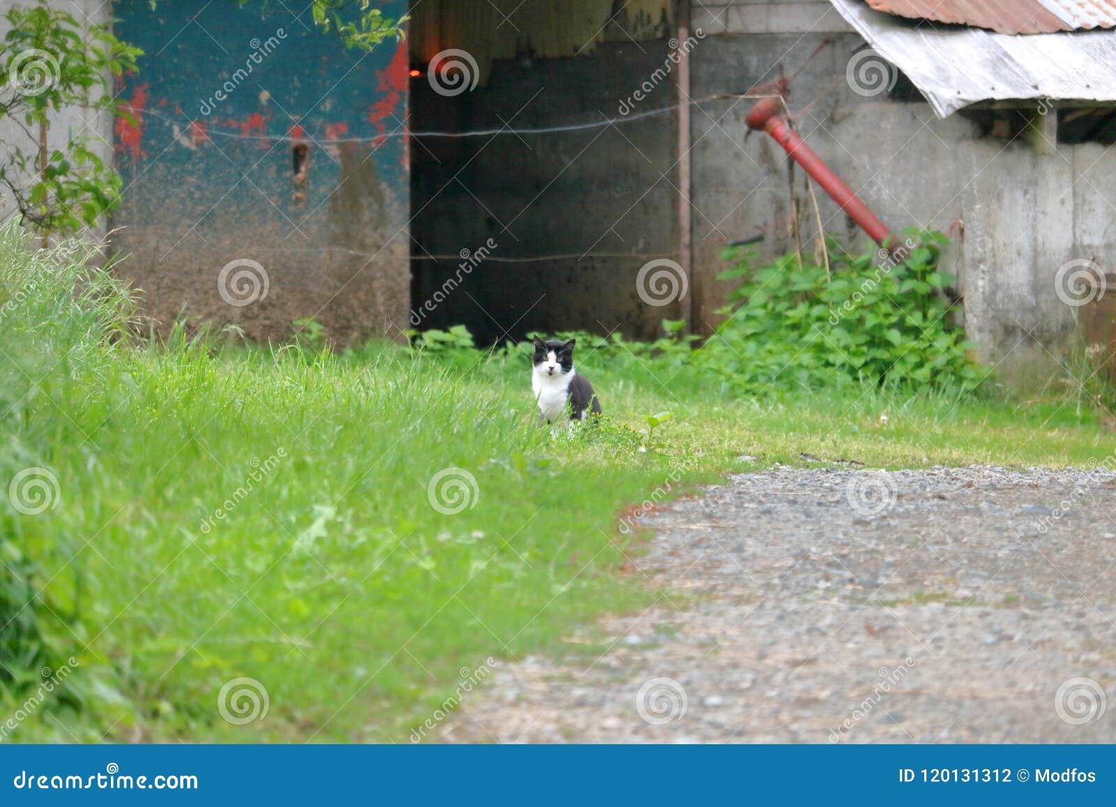 谷仓老鼠的猫狩猎