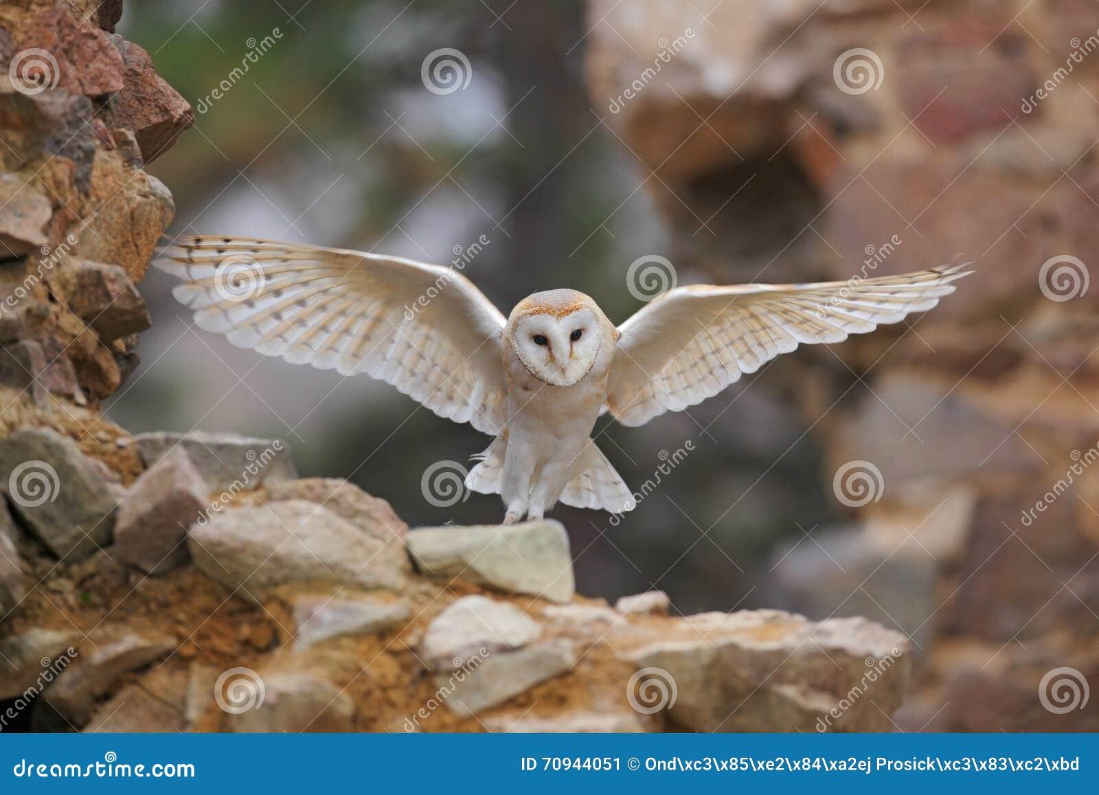 谷仓猫头鹰, Tyto晨曲,当精密翼飞行在石墙上,在老城堡的轻的鸟着陆,动物在城市生活环境,单位