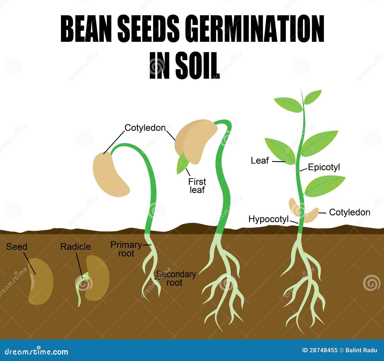 豆顺序植入萌芽
