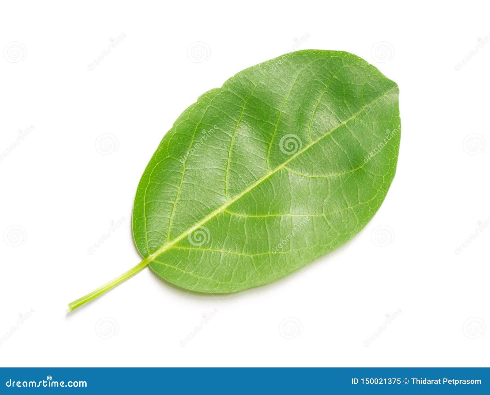 豪华的绿色叶子自然叶子在白色背景离开被隔绝