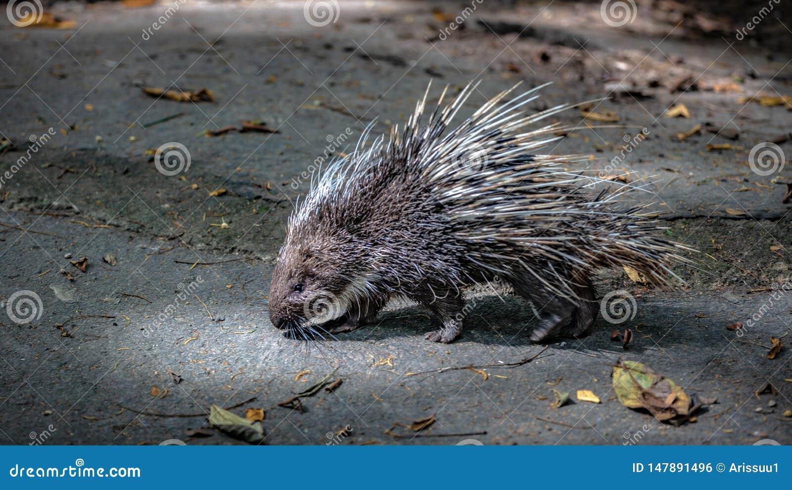 豪猪啮齿目动物和锋利的脊椎野生生物动物