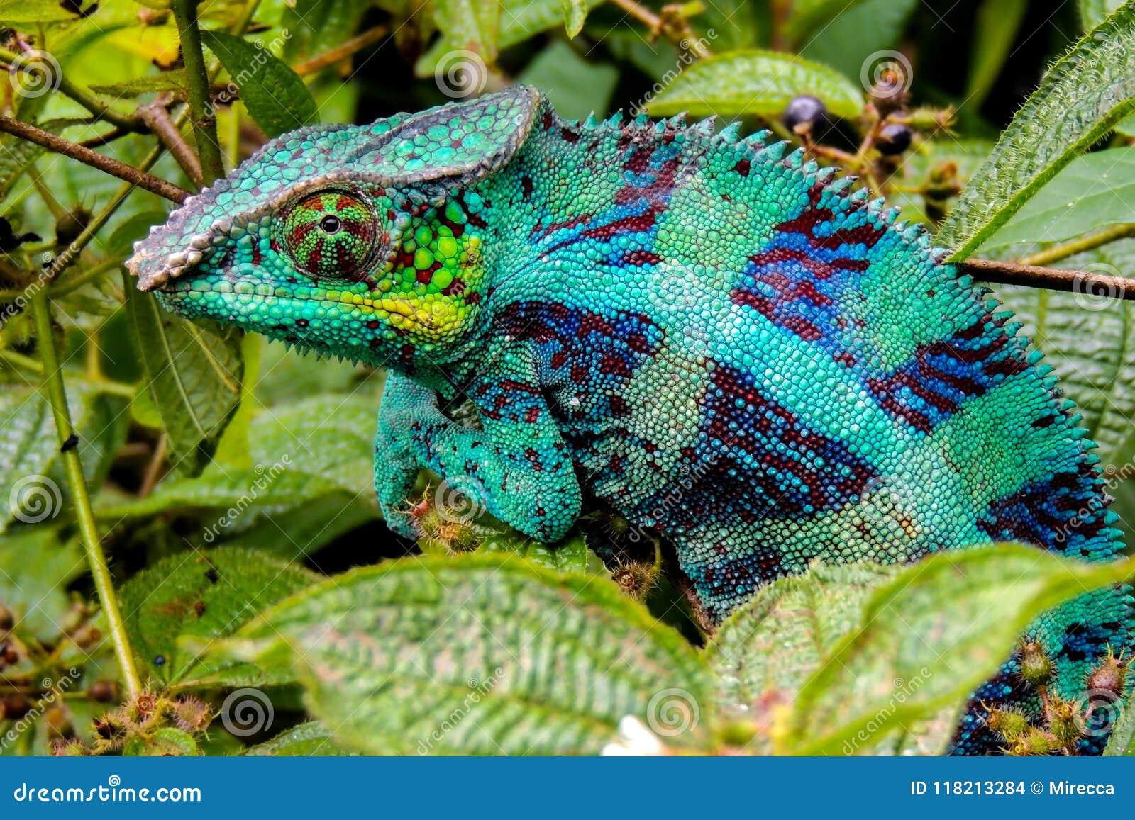 豹变色蜥蜴拉特 Furcifer pardalis马达加斯加
