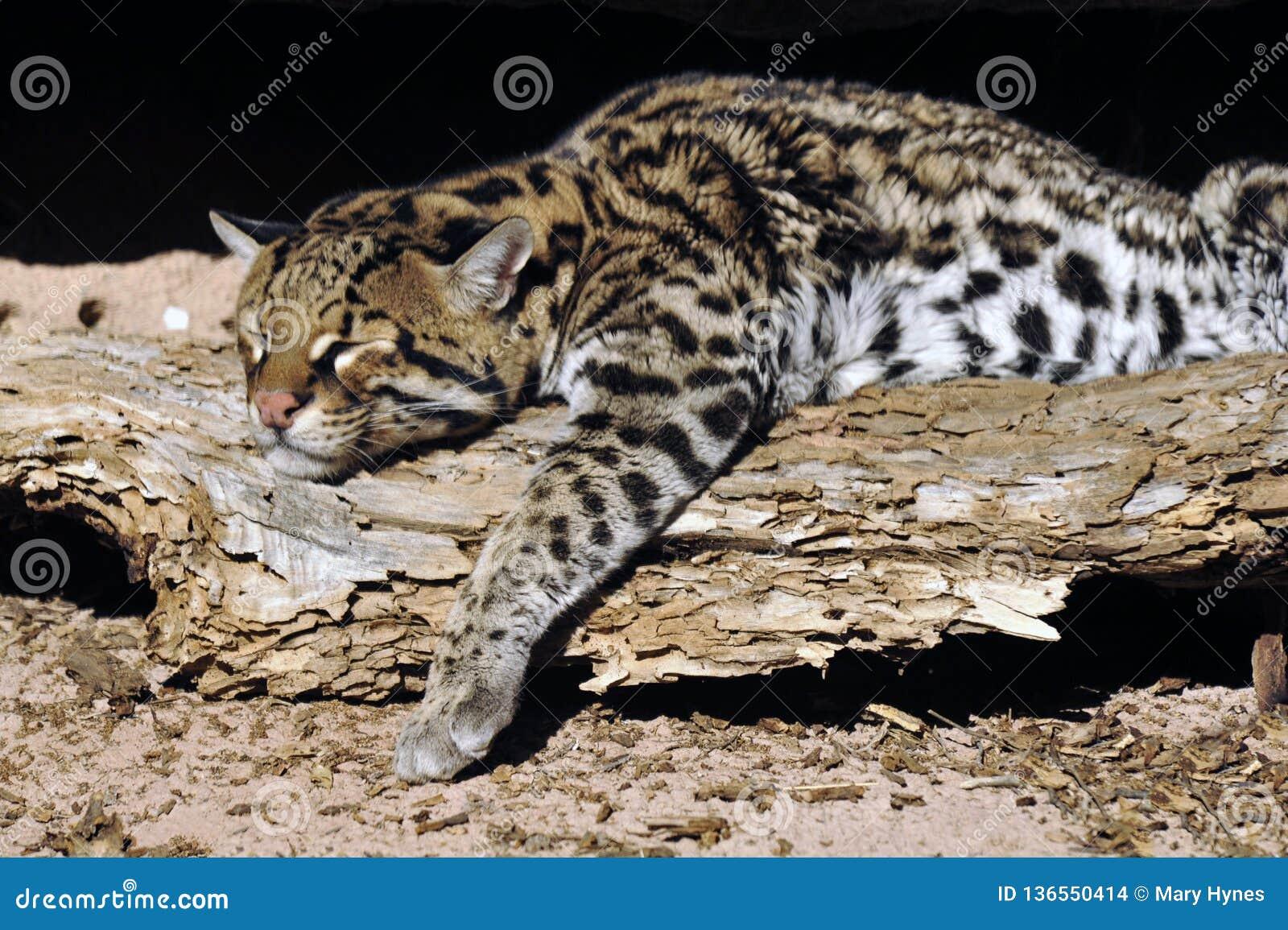 豹猫休息在阳光下!