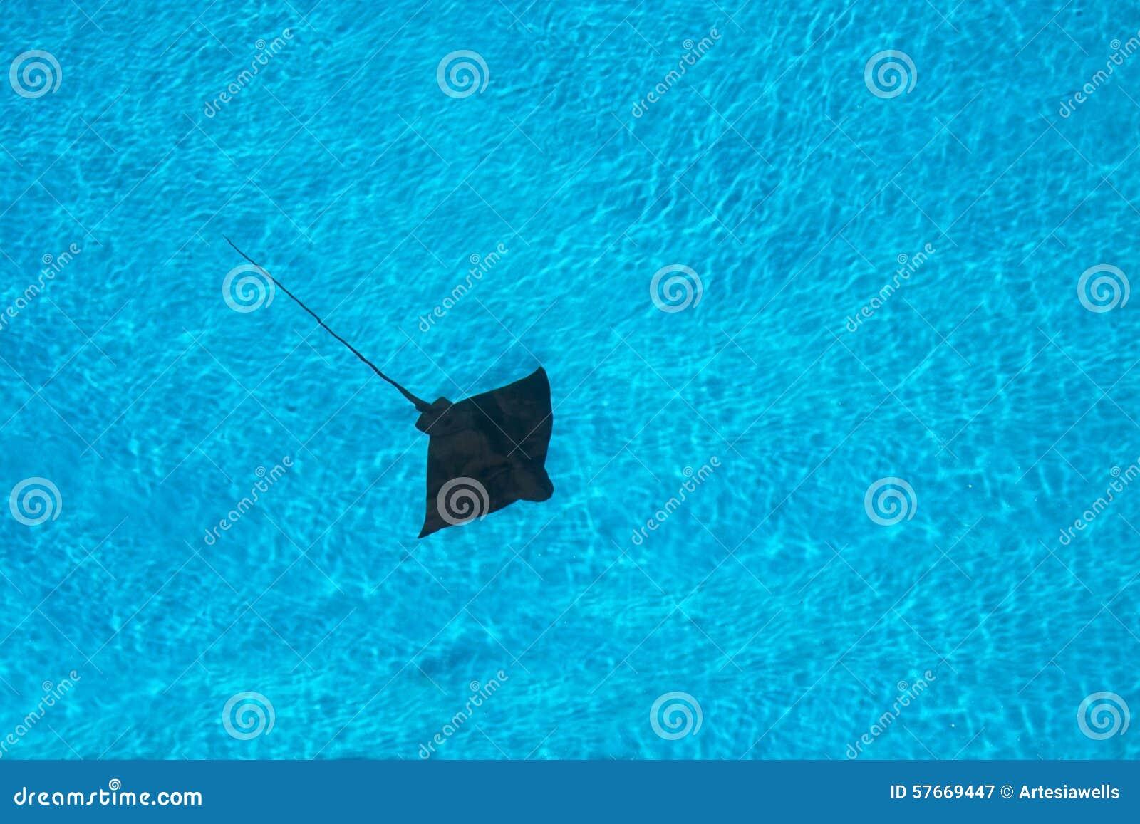黄貂鱼游泳