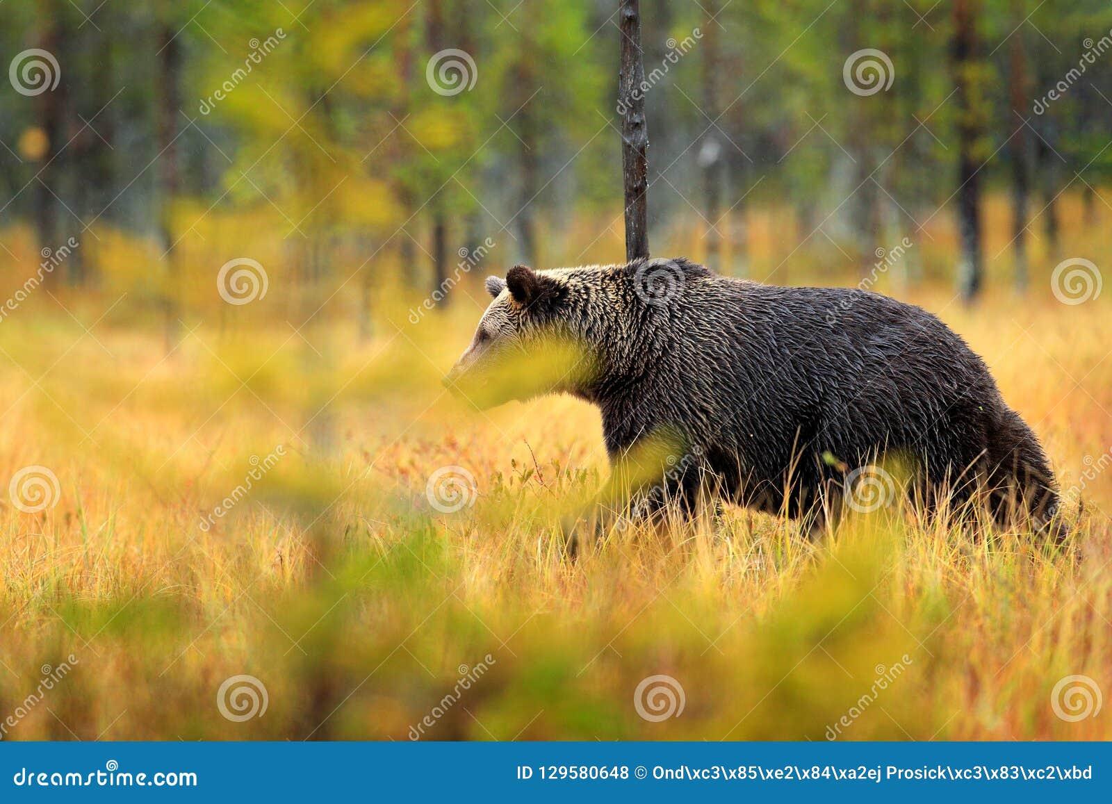 负担在橙红森林与熊的秋天树掩藏 走在有秋天颜色的湖附近的美丽的棕熊 危险