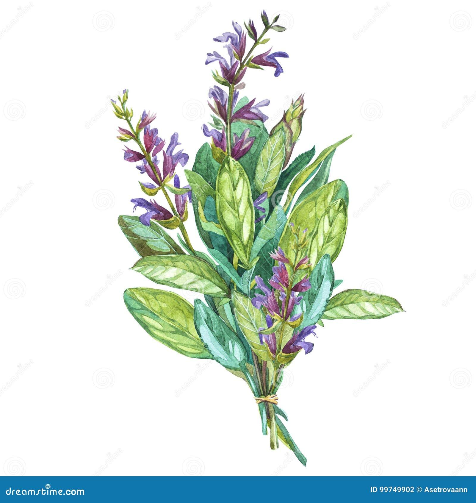 贤哲的植物的图画 为烹调用的烹饪草本的水彩美好的例证和装饰 查出