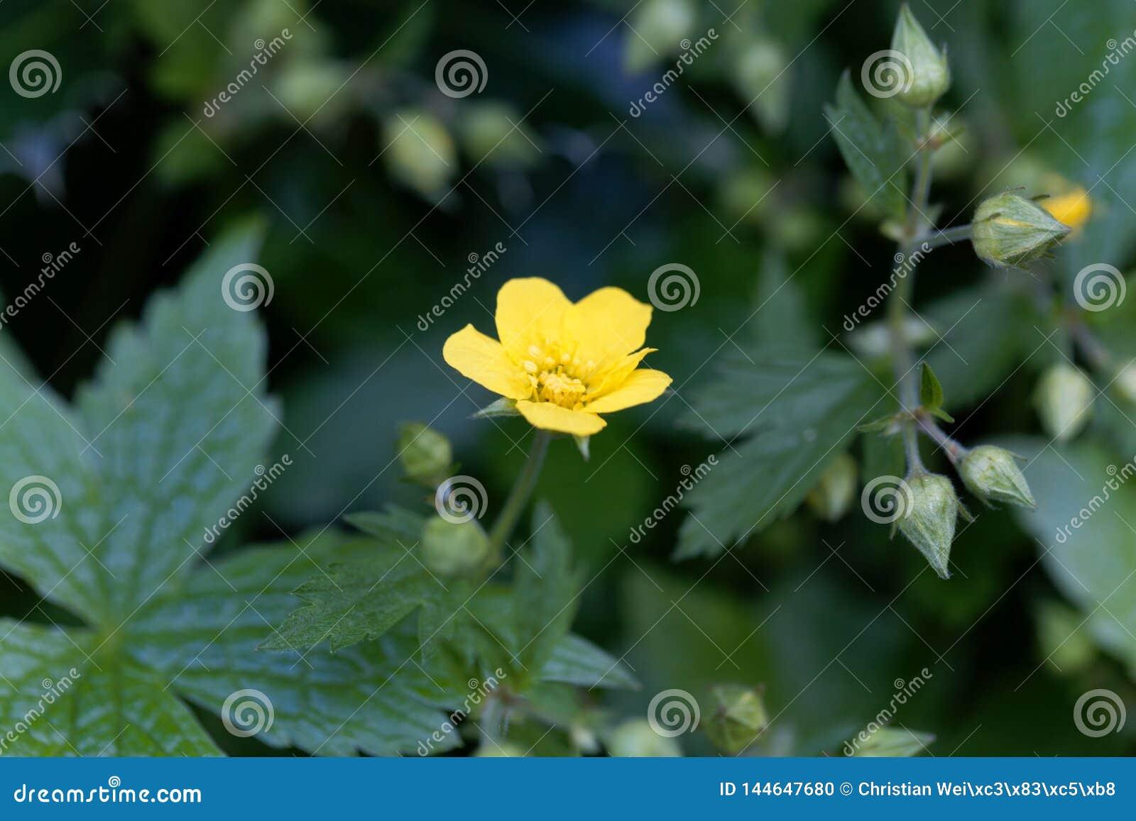 贫瘠草莓Waldsteinia geoides的花