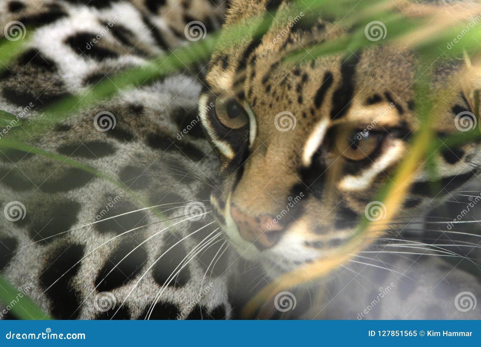 费利西亚,豹猫,间谍通过在Toucan抢救大农场的刷子,野生生物救援机构在圣伊西德罗de埃雷迪亚,哥斯达黎加
