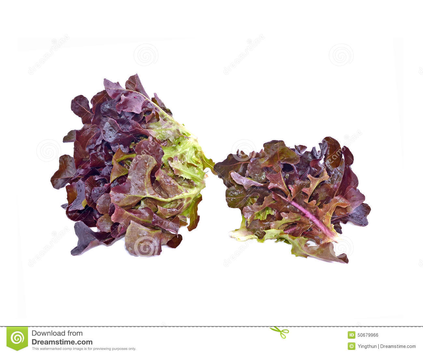 Download 赤栎叶子有白色背景 库存照片. 图片 包括有 健康, 查出, 沙拉, 食物, 有机, 背包, 自然, 酥脆 - 50679966