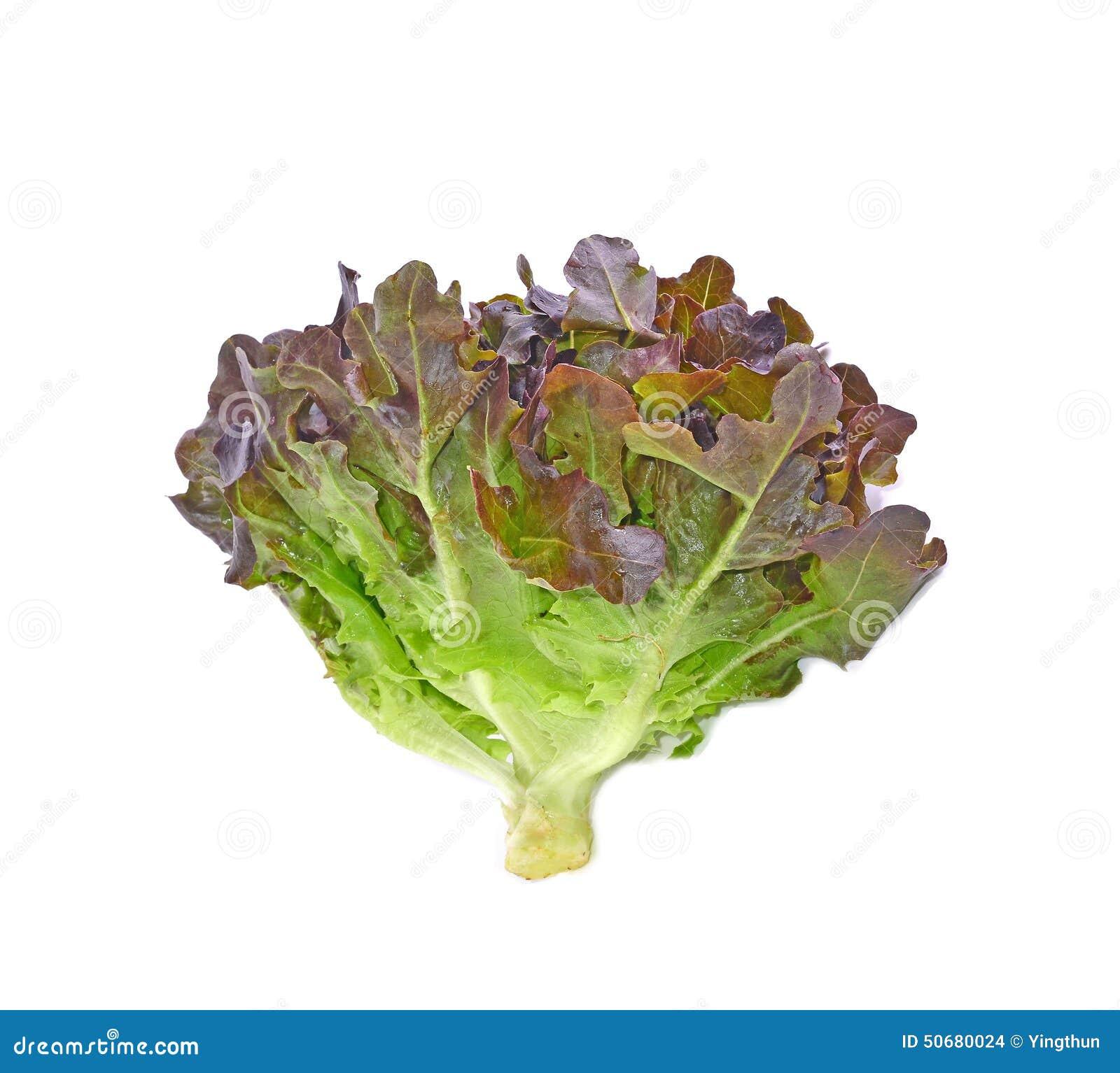 Download 赤栎叶子有白色背景 库存照片. 图片 包括有 健康, 美食, 酥脆, 蔬菜, 卷曲, 沙拉, 叶茂盛, 背包 - 50680024