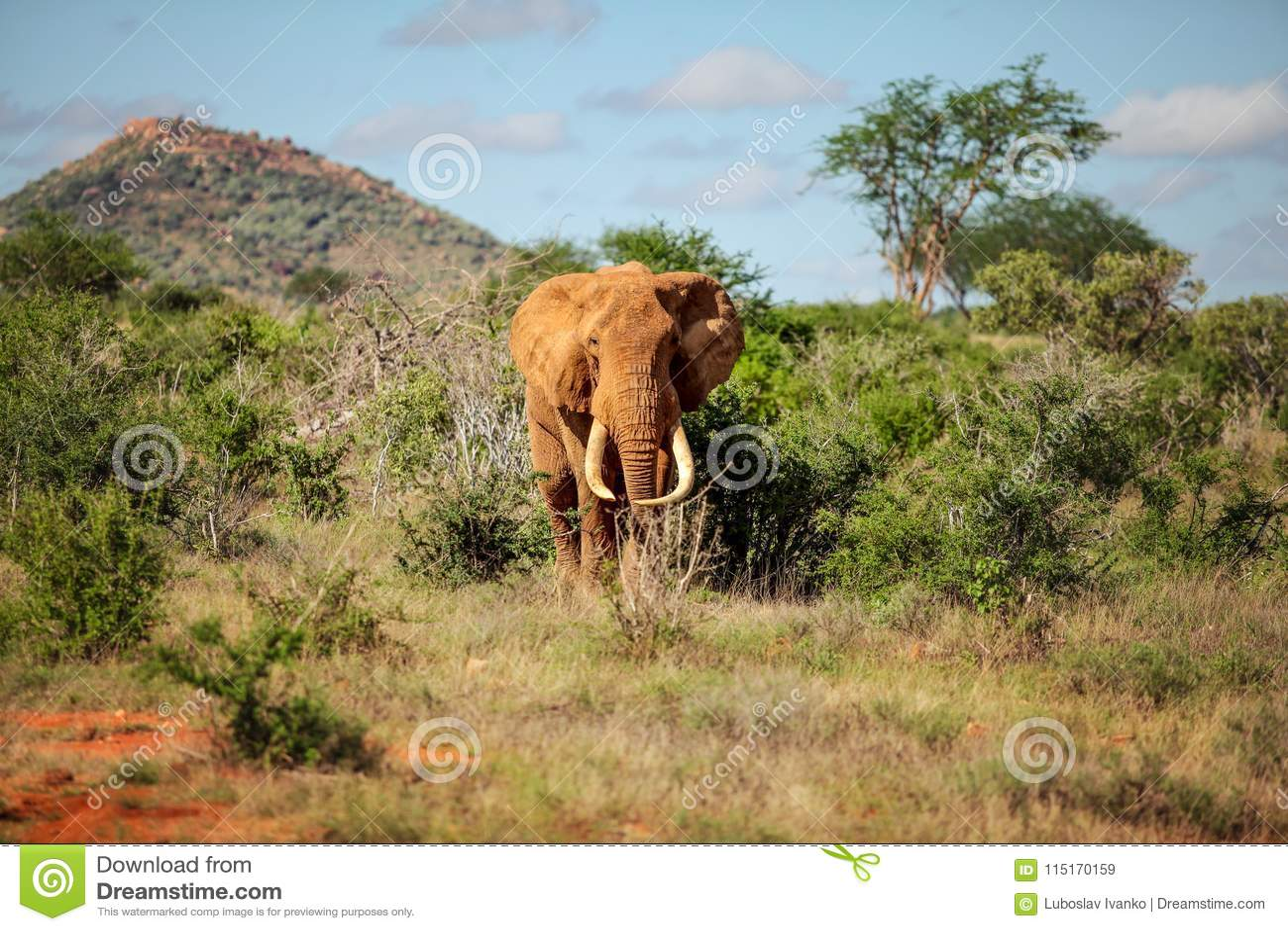 走从灌木的非洲灌木大象非洲象属africana和