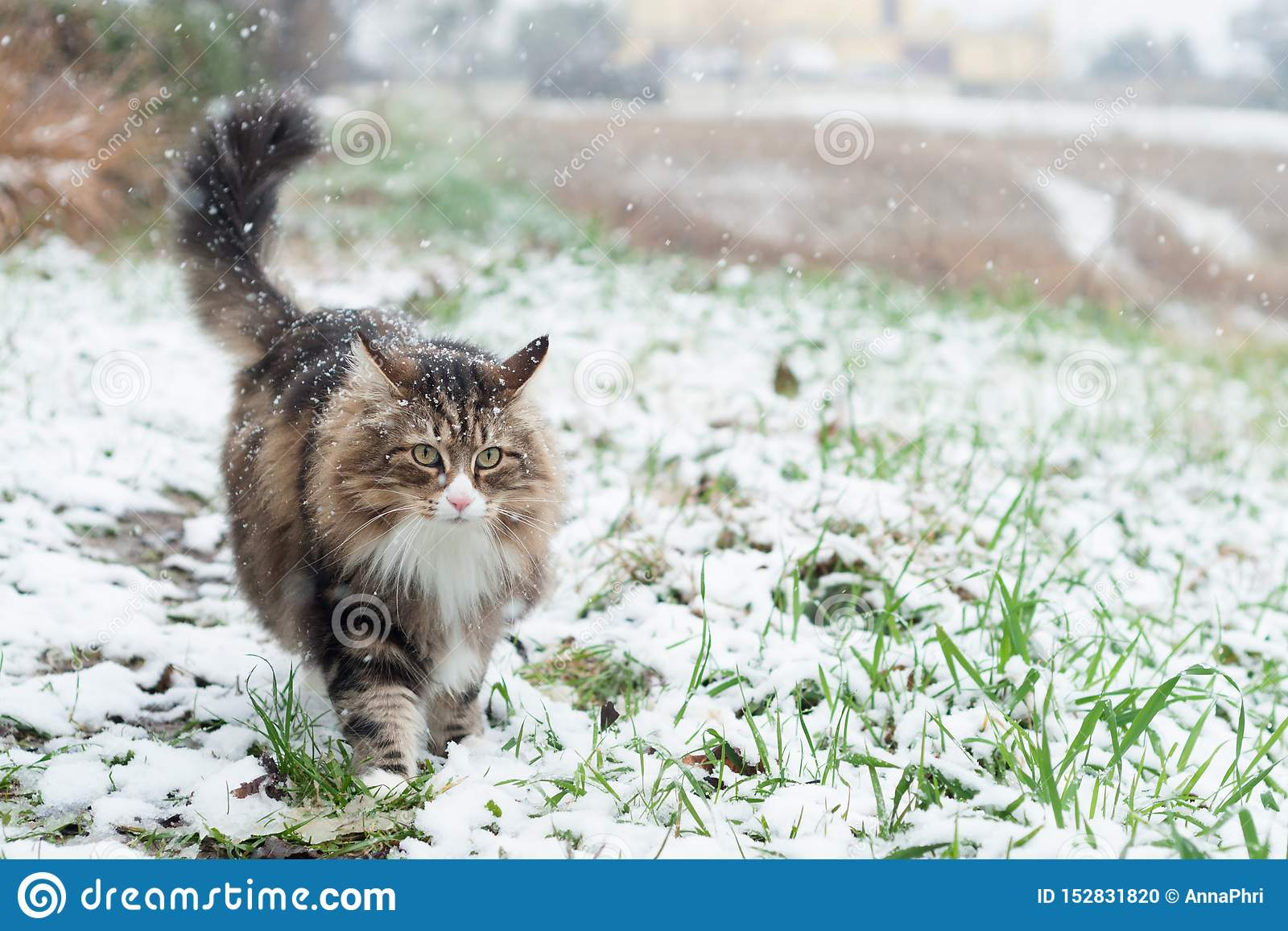 走在一个积雪的领域的挪威森林猫