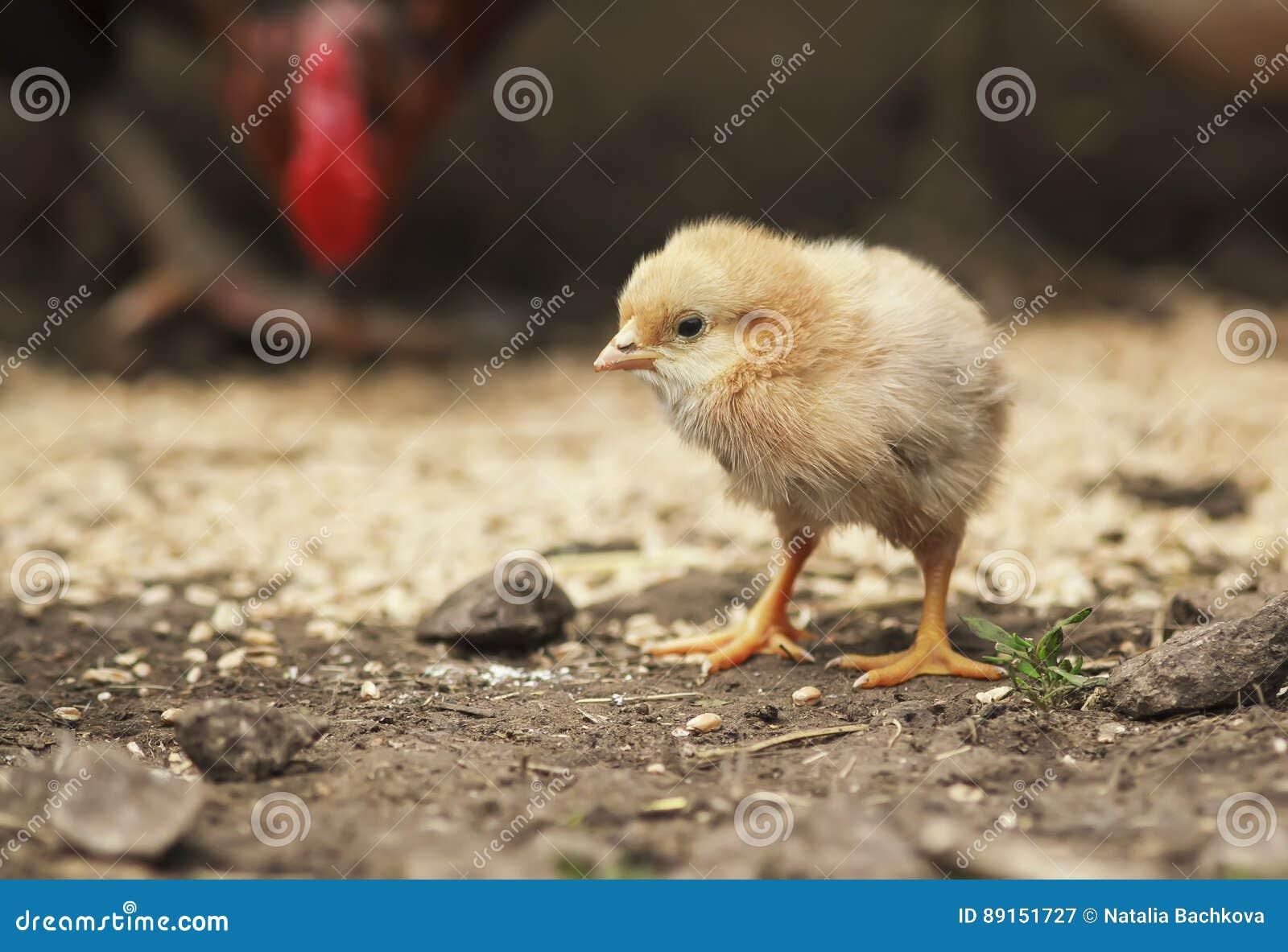 走在农场附近的仓库广场滑稽的小的鸡