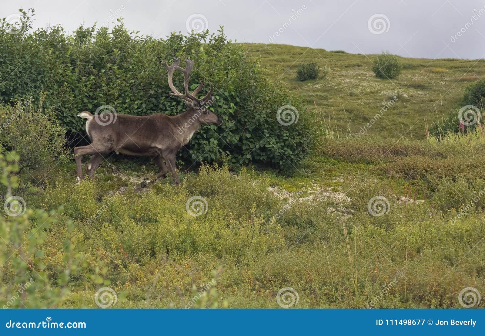 走在前面的北美驯鹿洗刷