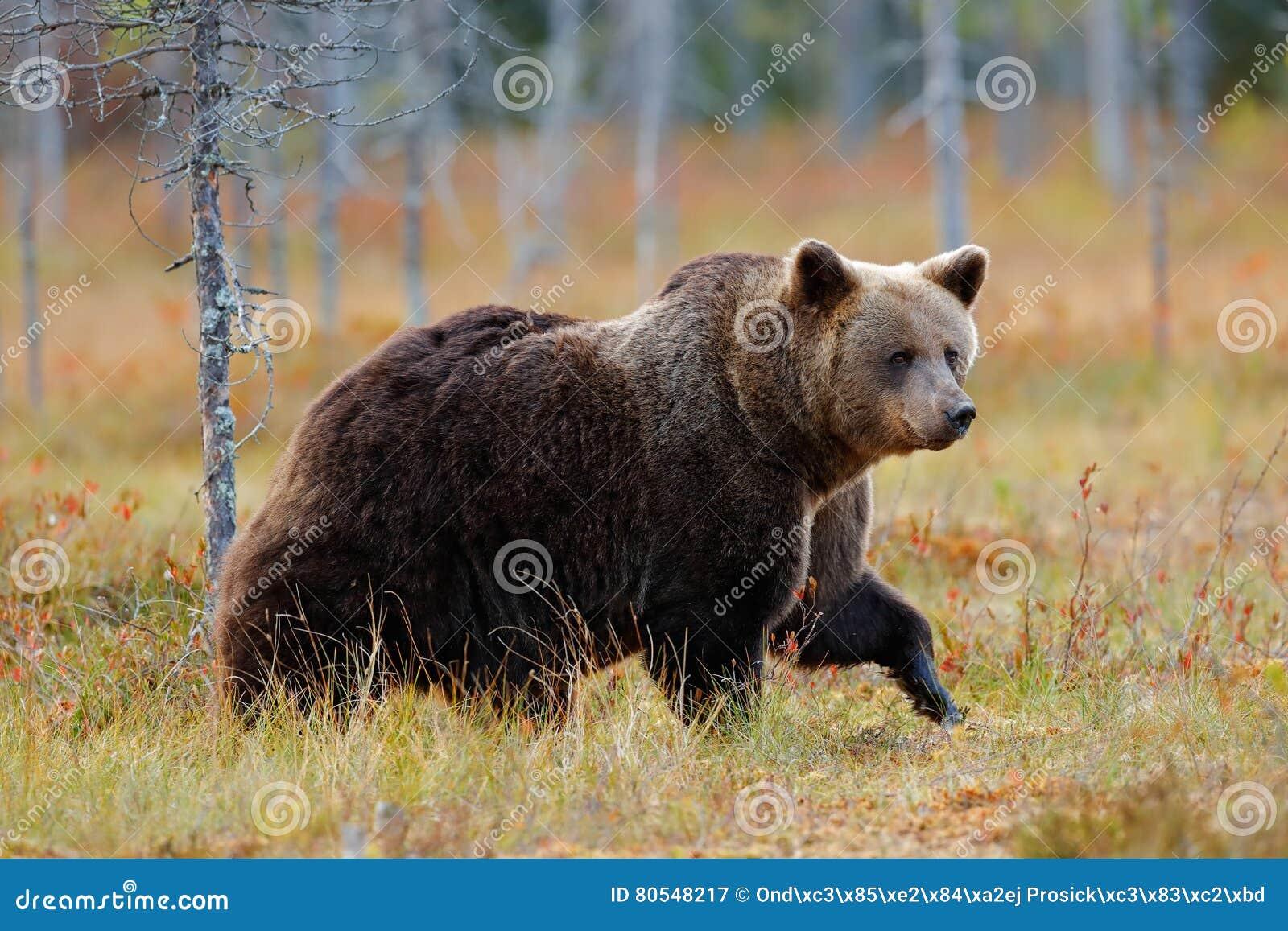 走在有秋天颜色的湖附近的美丽的大棕熊 危险动物在自然森林和草甸栖所里 野生生物s