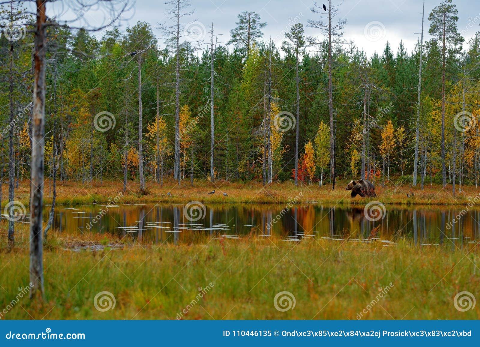 走在有秋天颜色的湖附近的美丽的棕熊 在自然木头,草甸栖所的危险动物 野生生物栖所从