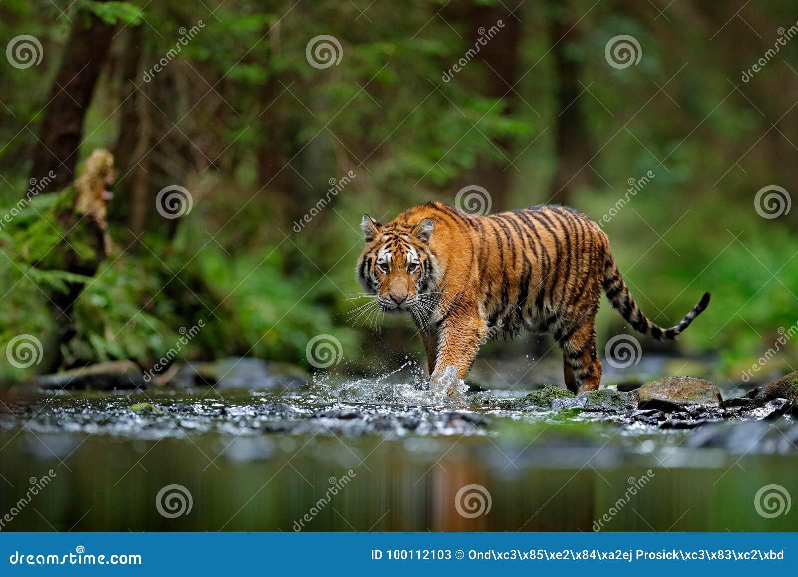 走在河水的阿穆尔河老虎 危险动物, tajga,俄罗斯 在绿色森林小河的动物 灰色石头,河小滴 西伯利亚